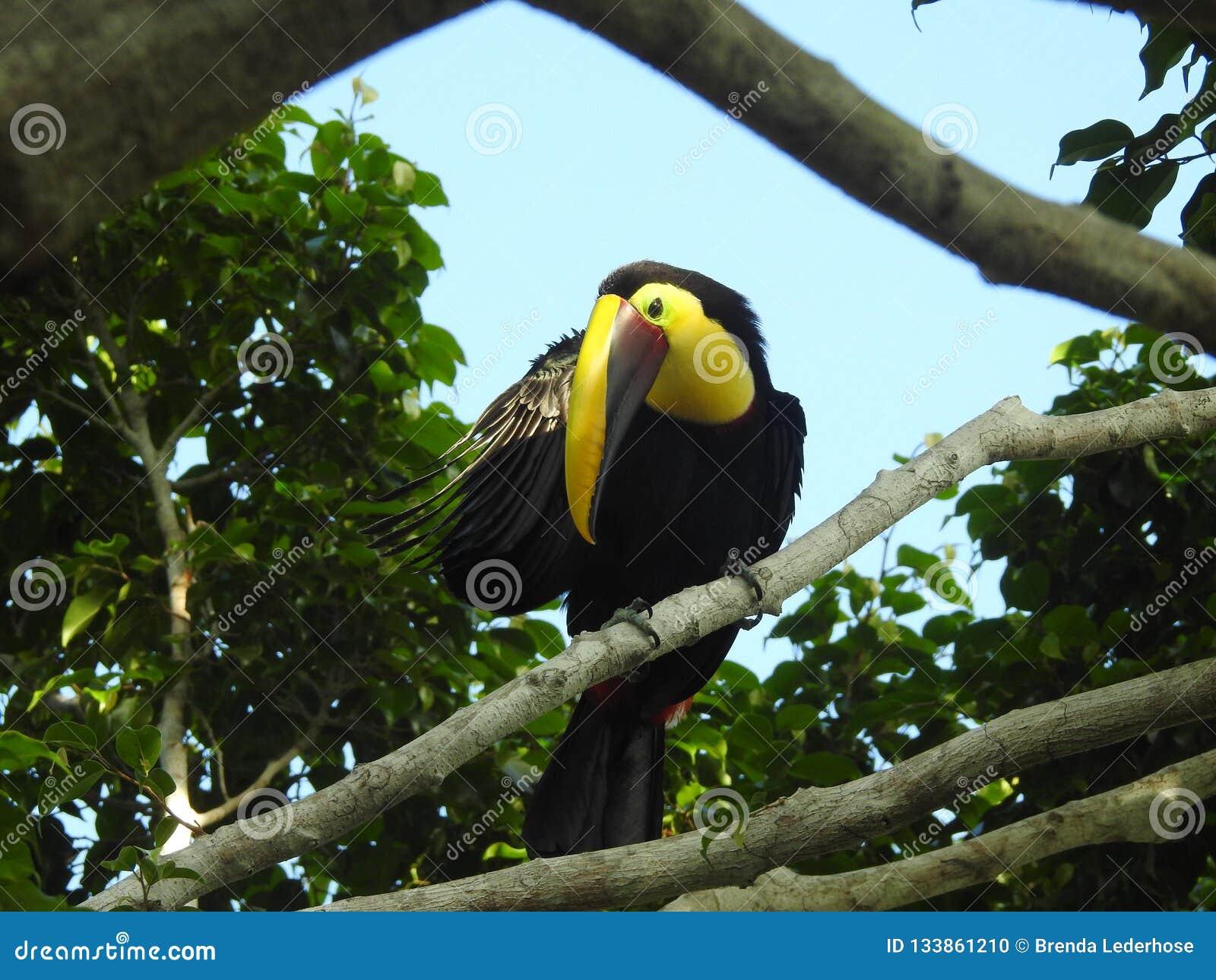 Toucan scratching an itch, Costa Rica