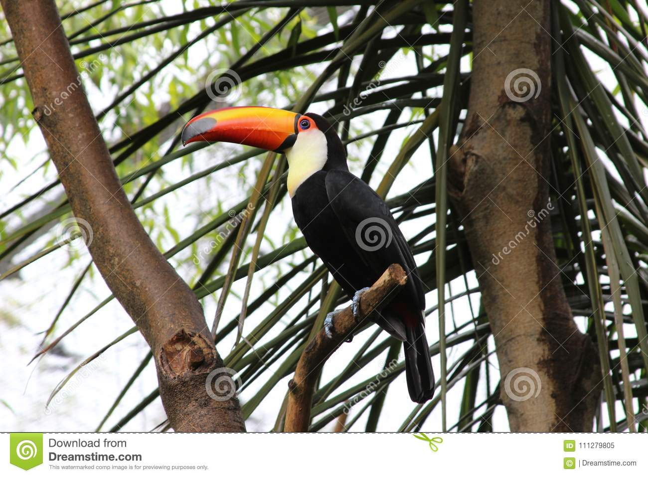 Toucan sitting in the tree