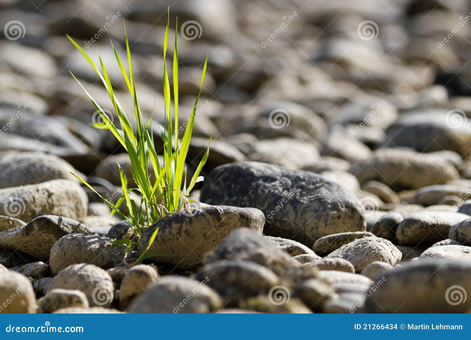 Touffe simple d herbe dans le désert en pierre