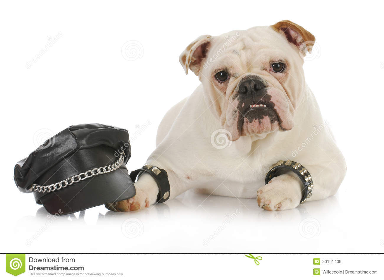 tough dog stock image image of motorcycle ears cute