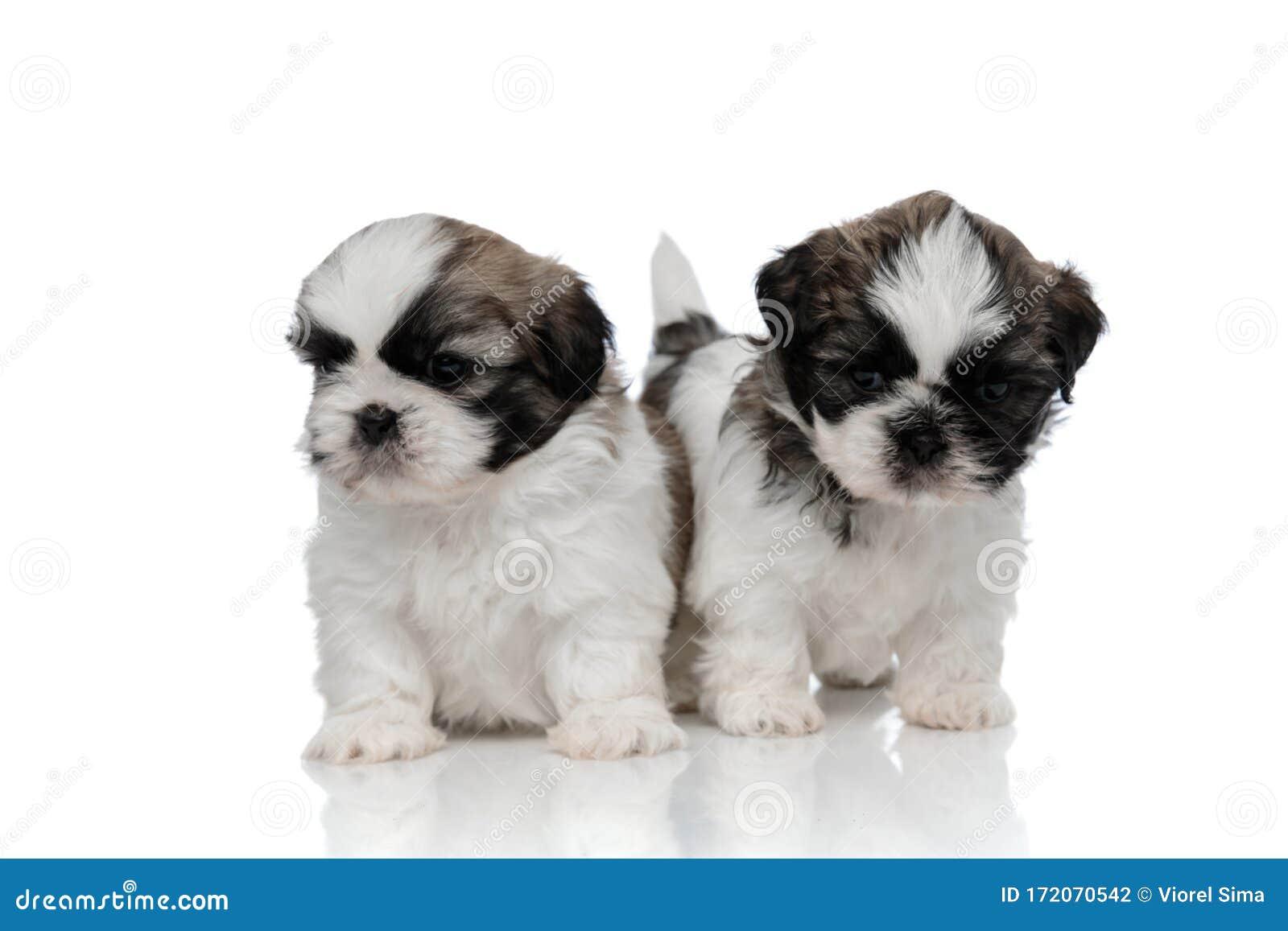 Tough Shih Tzu Puppies Walking Forward Stock Photo Image Of Looking Couple 172070542