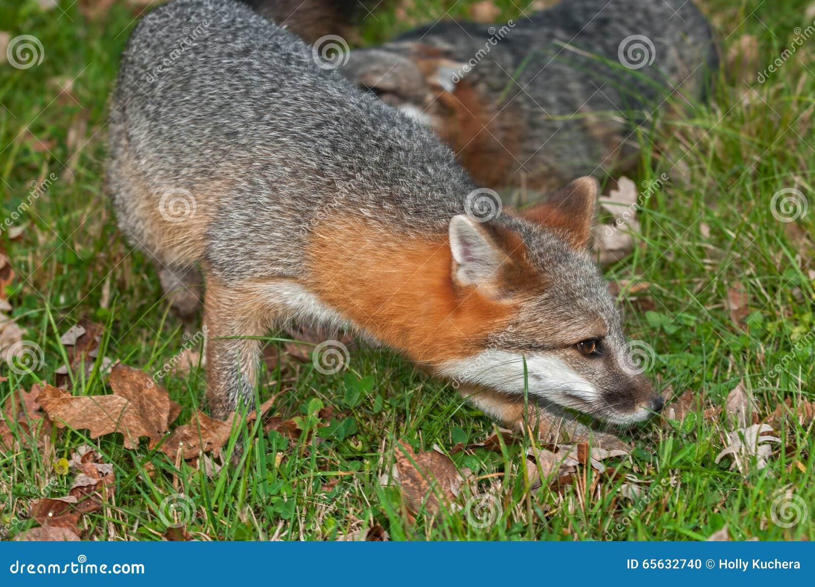 Tour rapide de Grey Fox (cinereoargenteus d Urocyon)