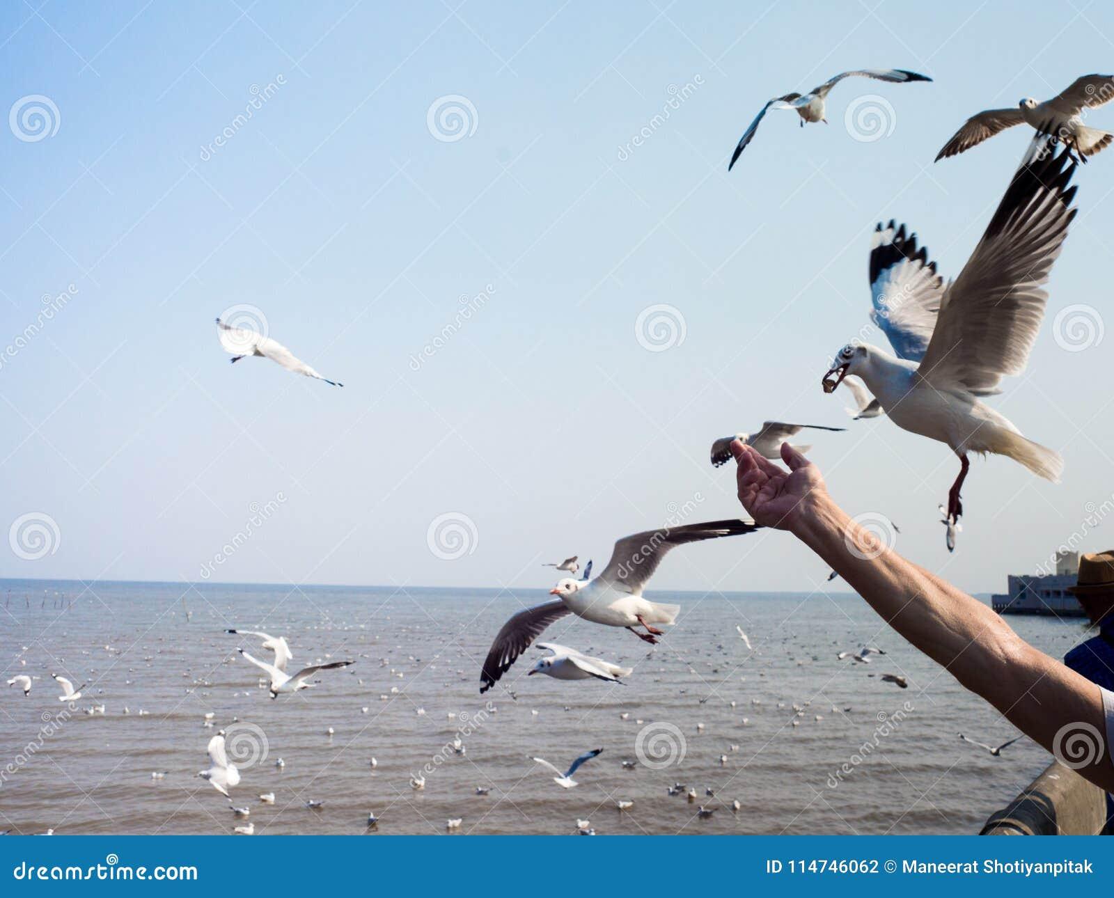 The tourist feeding seagulls at Bangpoo Beach, SAMUTPRAKARN, THAILAND Feb 2018
