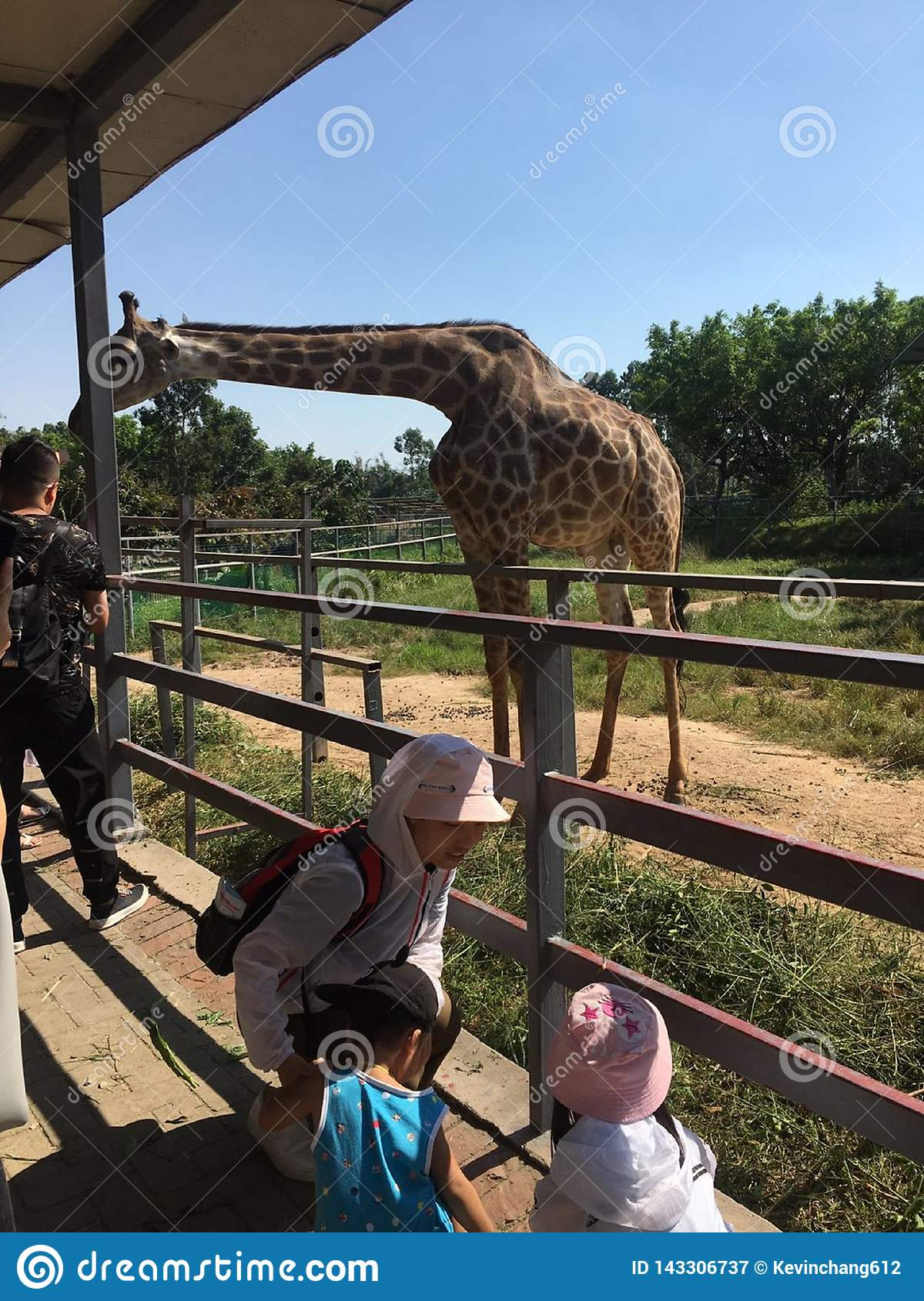The tourists are feeding the giraffes at the zoo