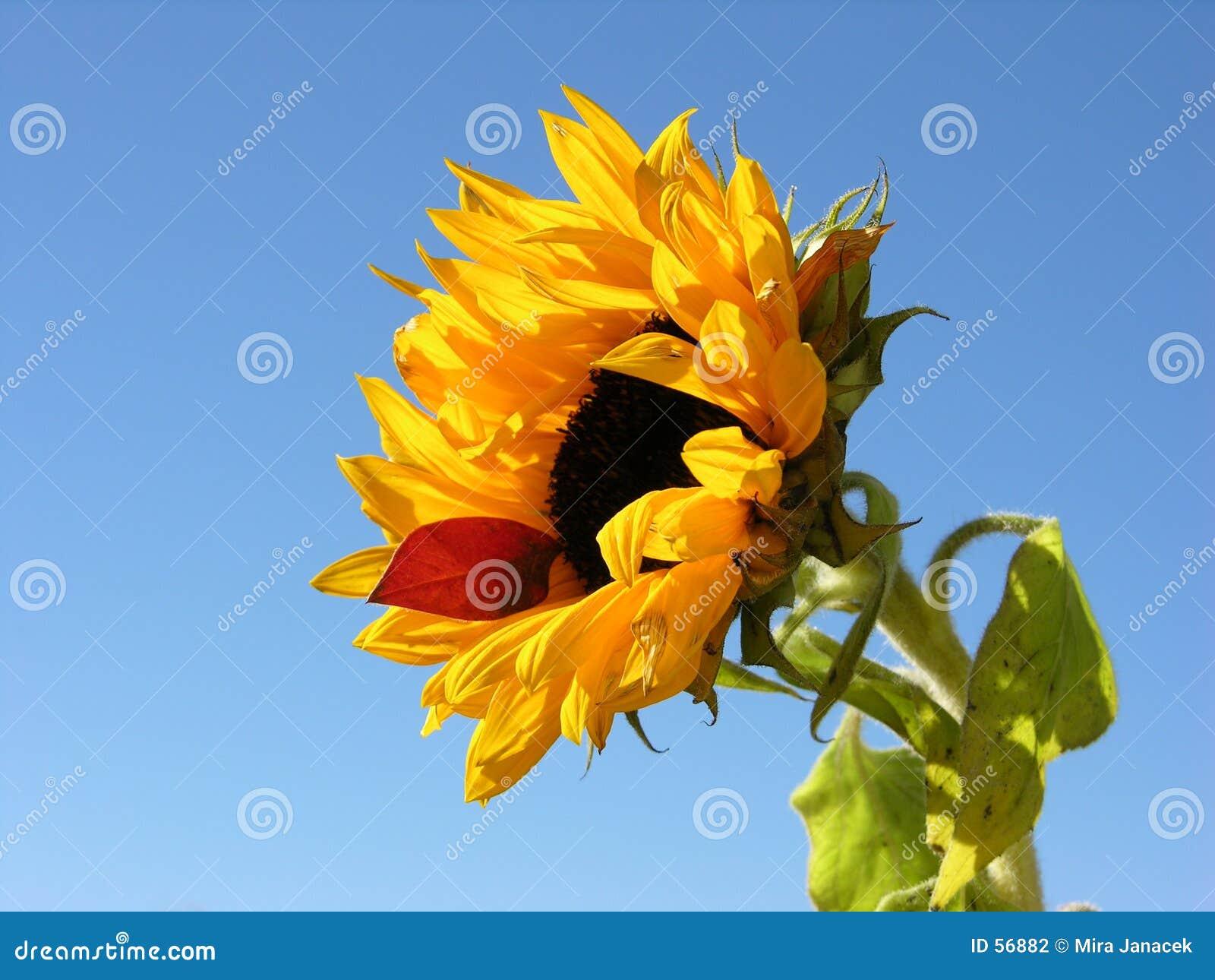 Download Tournesol photo stock. Image du partie, fleur, isolement - 56882