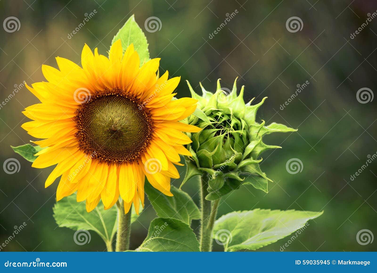 Tournesol avec la fleur verte de tournesol