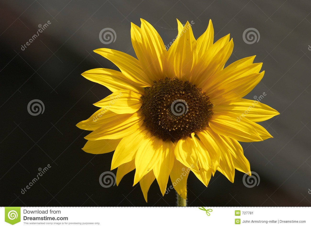 Tournesol d or