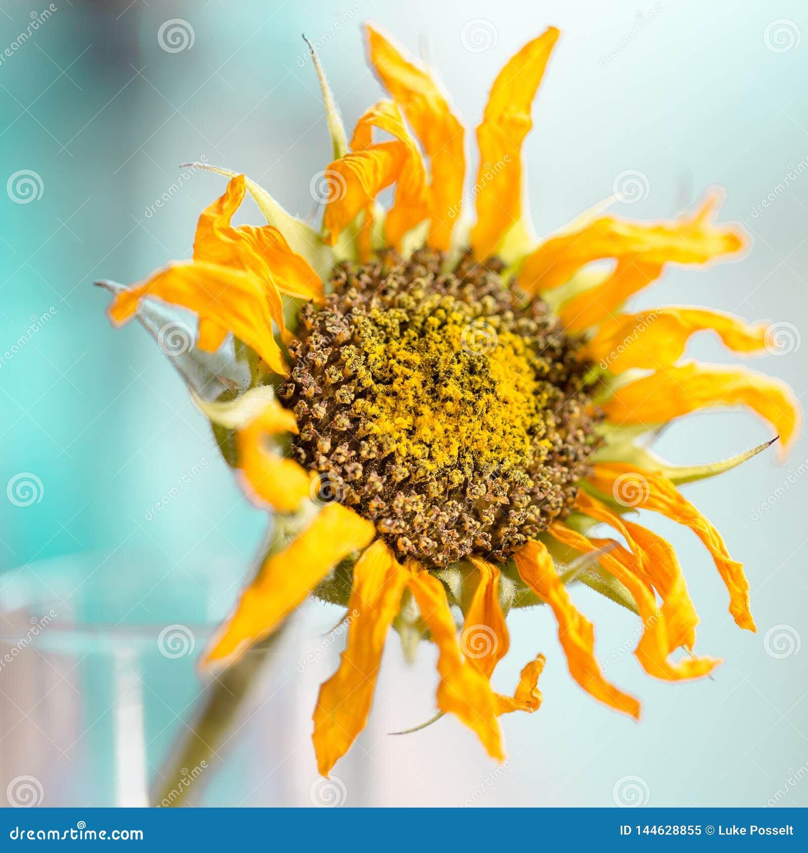 Tournesol d or couvert dans le pollen