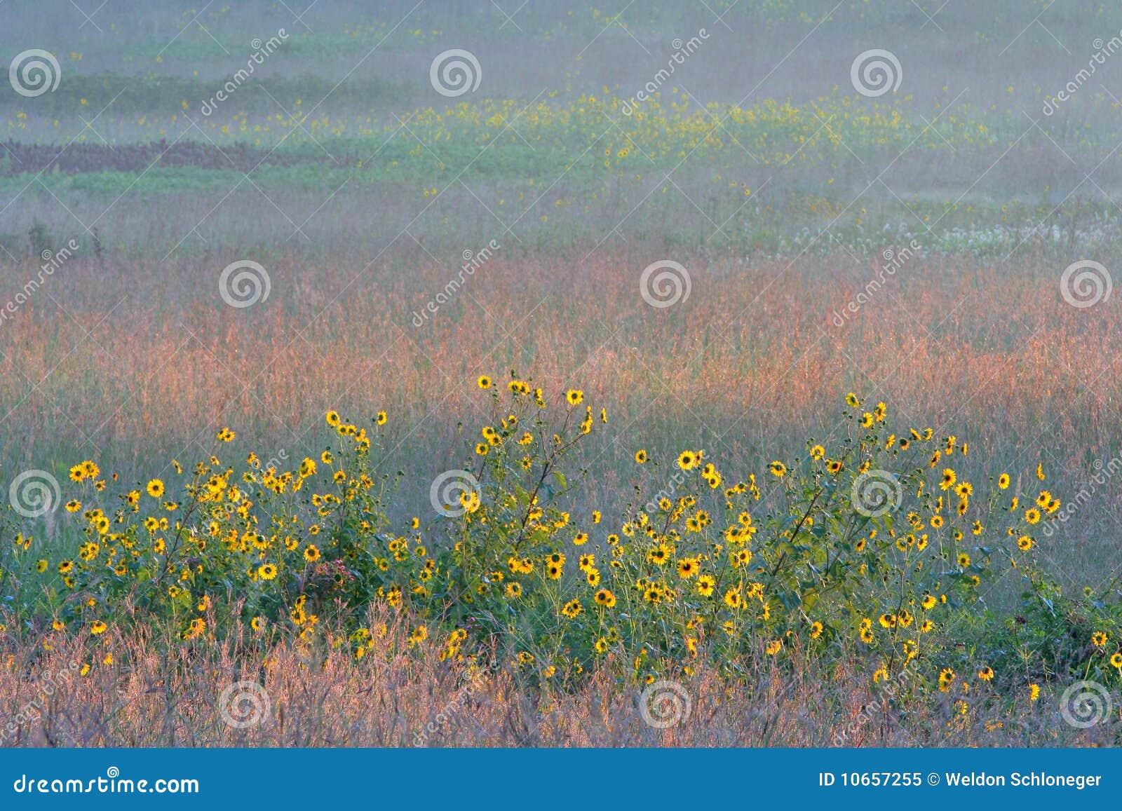 Tournesols et prairie grande colorée d herbe