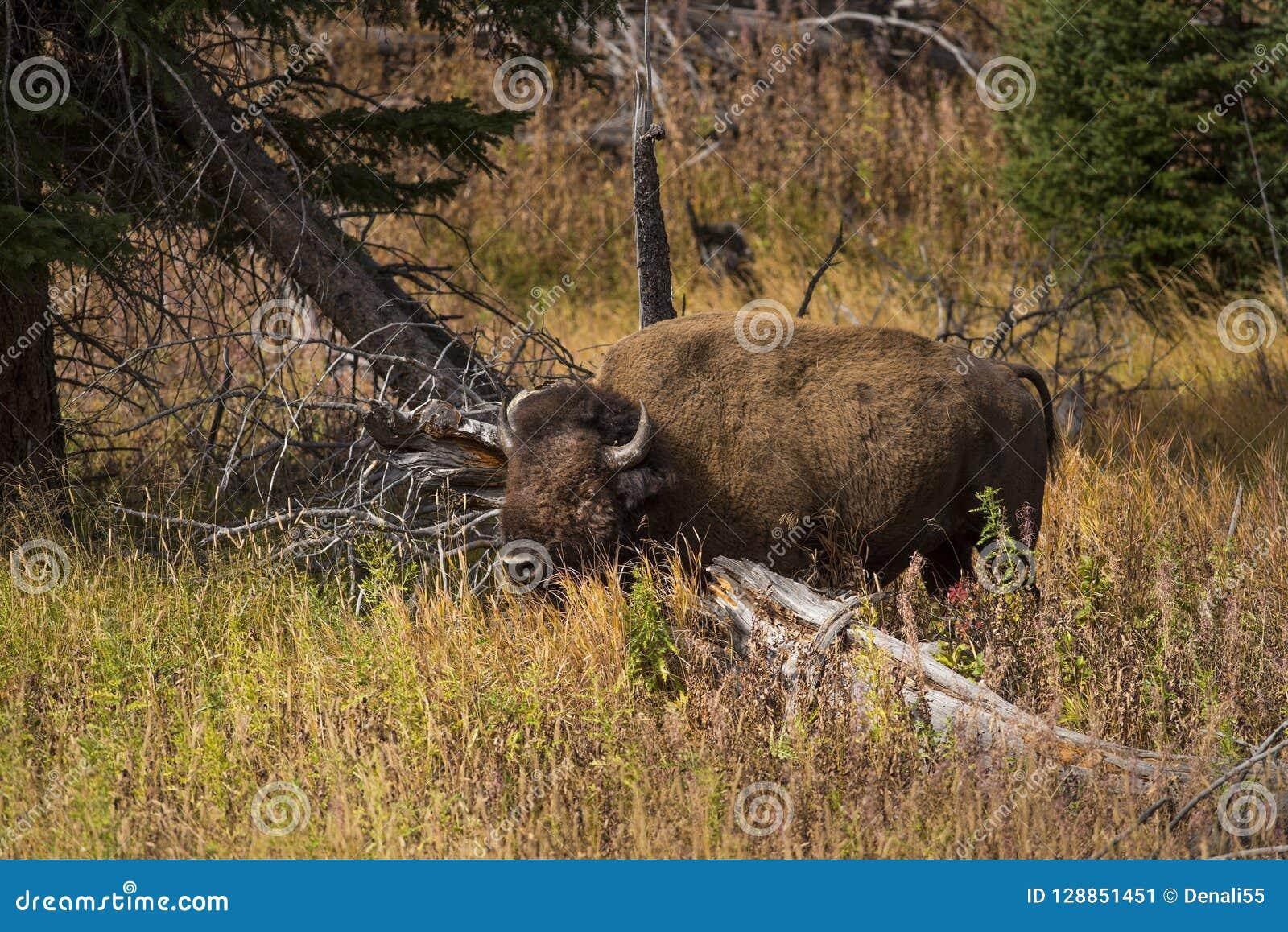 Touro do bisonte que forrageia para o alimento na floresta