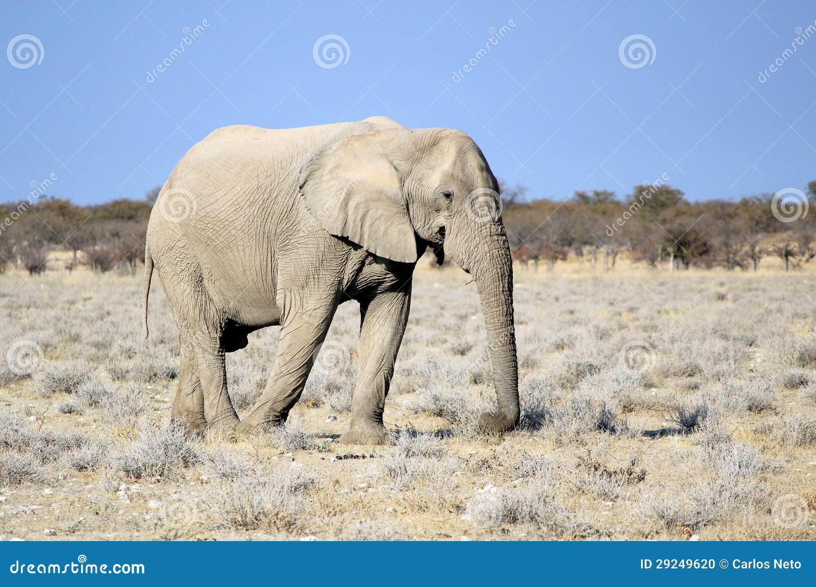 Download Touro Do Elefante Africano Na Reserva Dos Animais Selvagens De Etosha Foto de Stock - Imagem de nafta, paisagem: 29249620