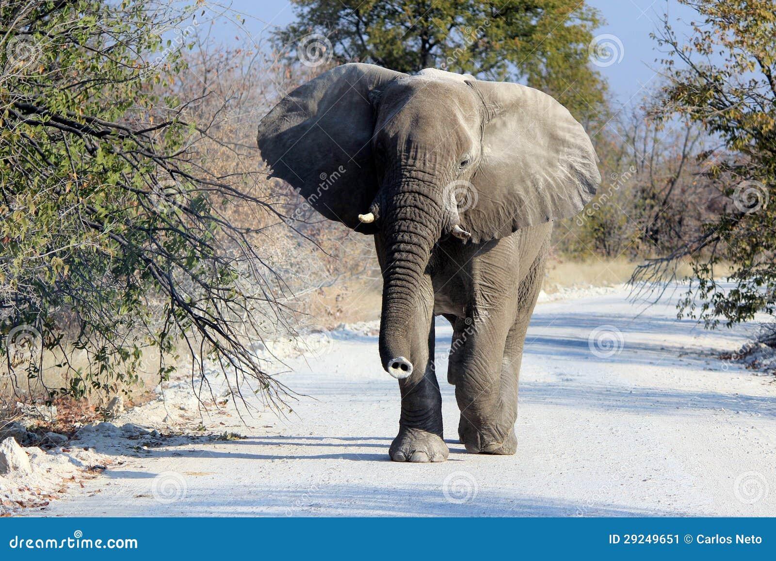 Download Touro Do Elefante Africano Na Reserva Dos Animais Selvagens De Etosha Imagem de Stock - Imagem de giraffe, jogo: 29249651