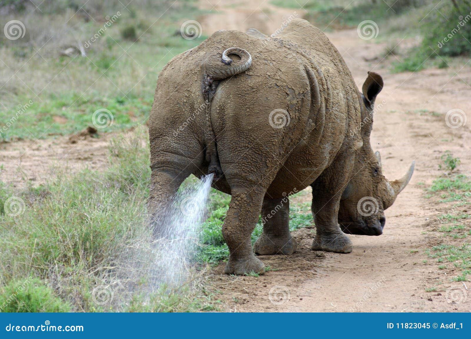 Imagen del pene rinoceronte