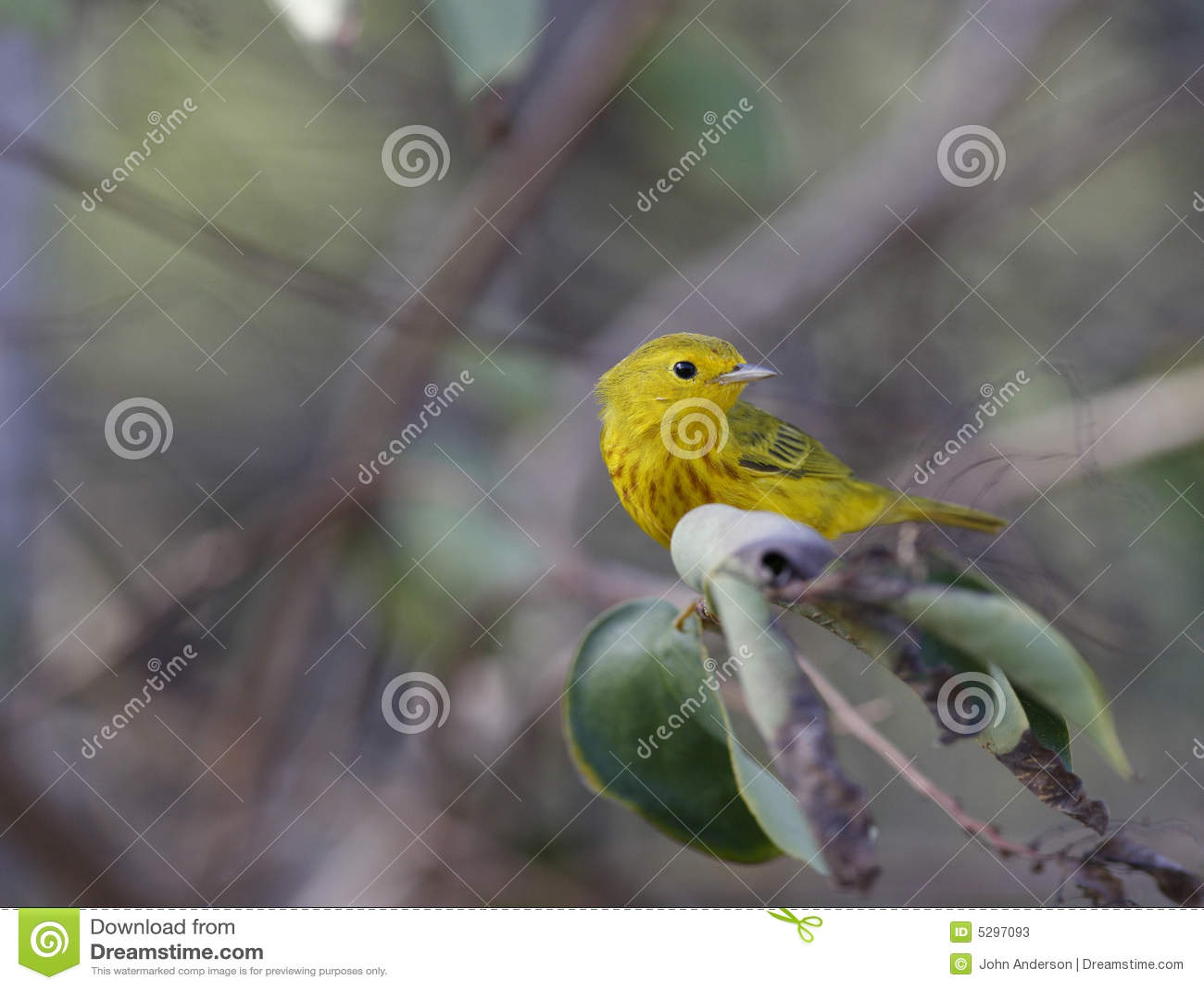 Toutinegra amarela (petectia de Dentroica)