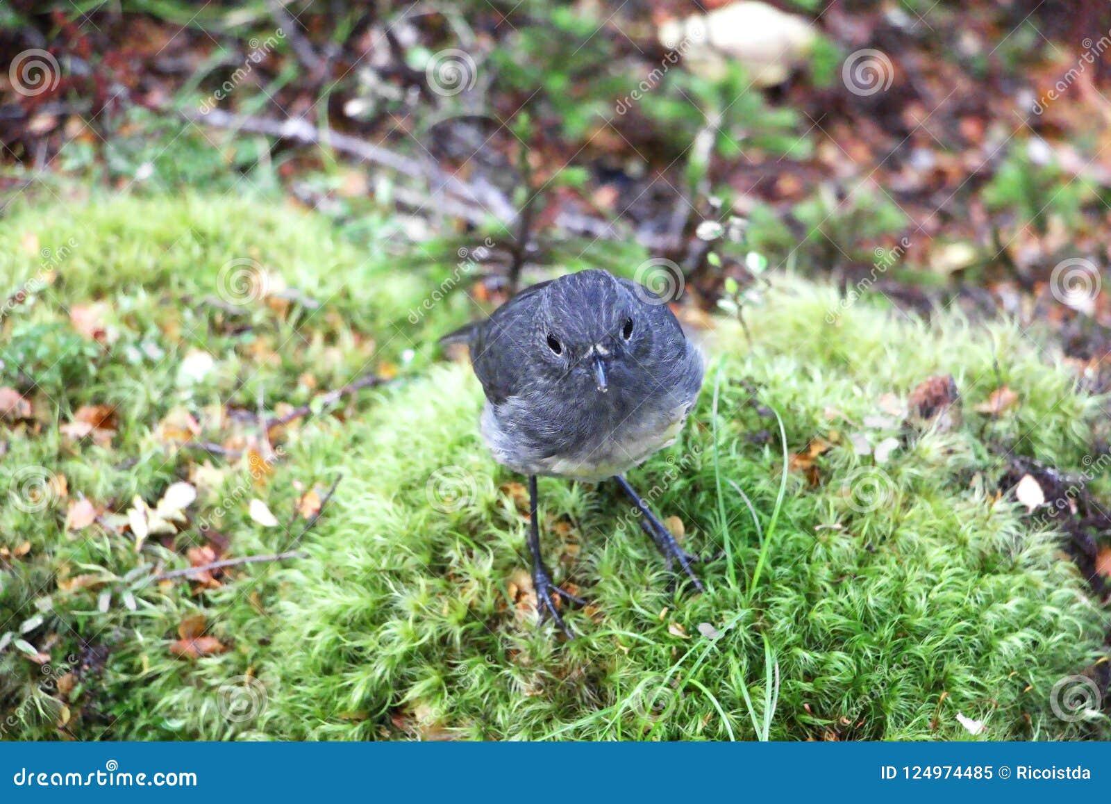 toutouwai bird in New Zealand sitting on branch