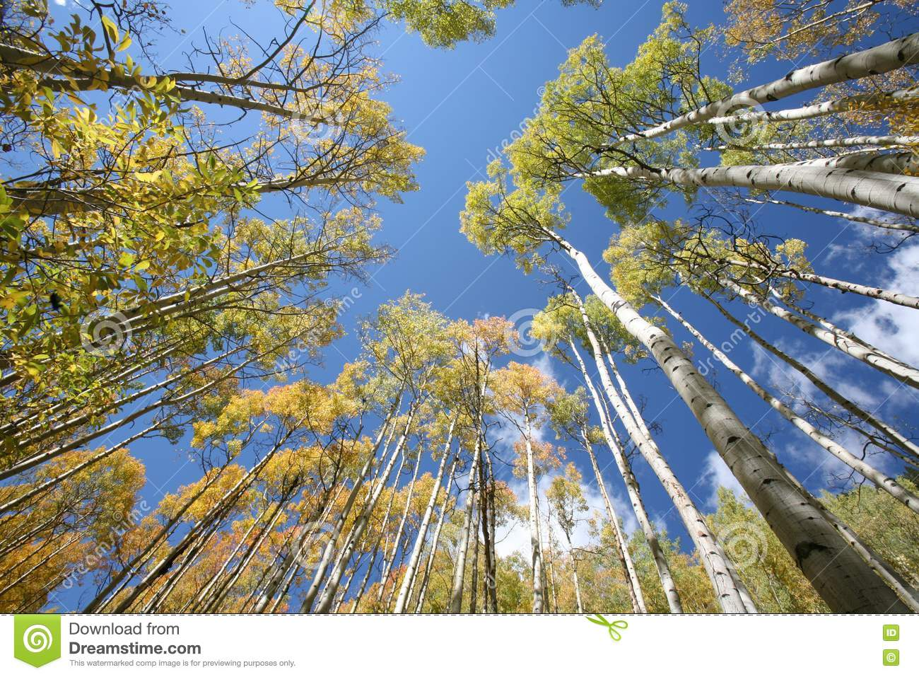 Download Towering aspen trees stock image. Image of branches, forest - 1270297