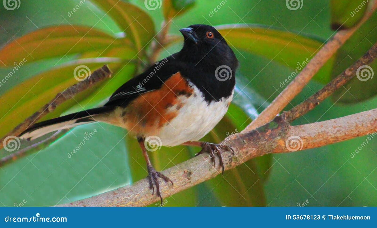 Towhee - uccello in albero