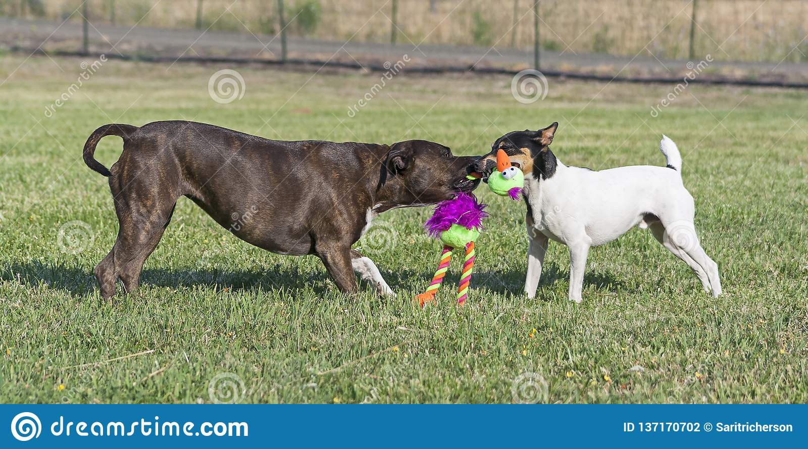 Two Dogs Playing Tug of War in a Pasture
