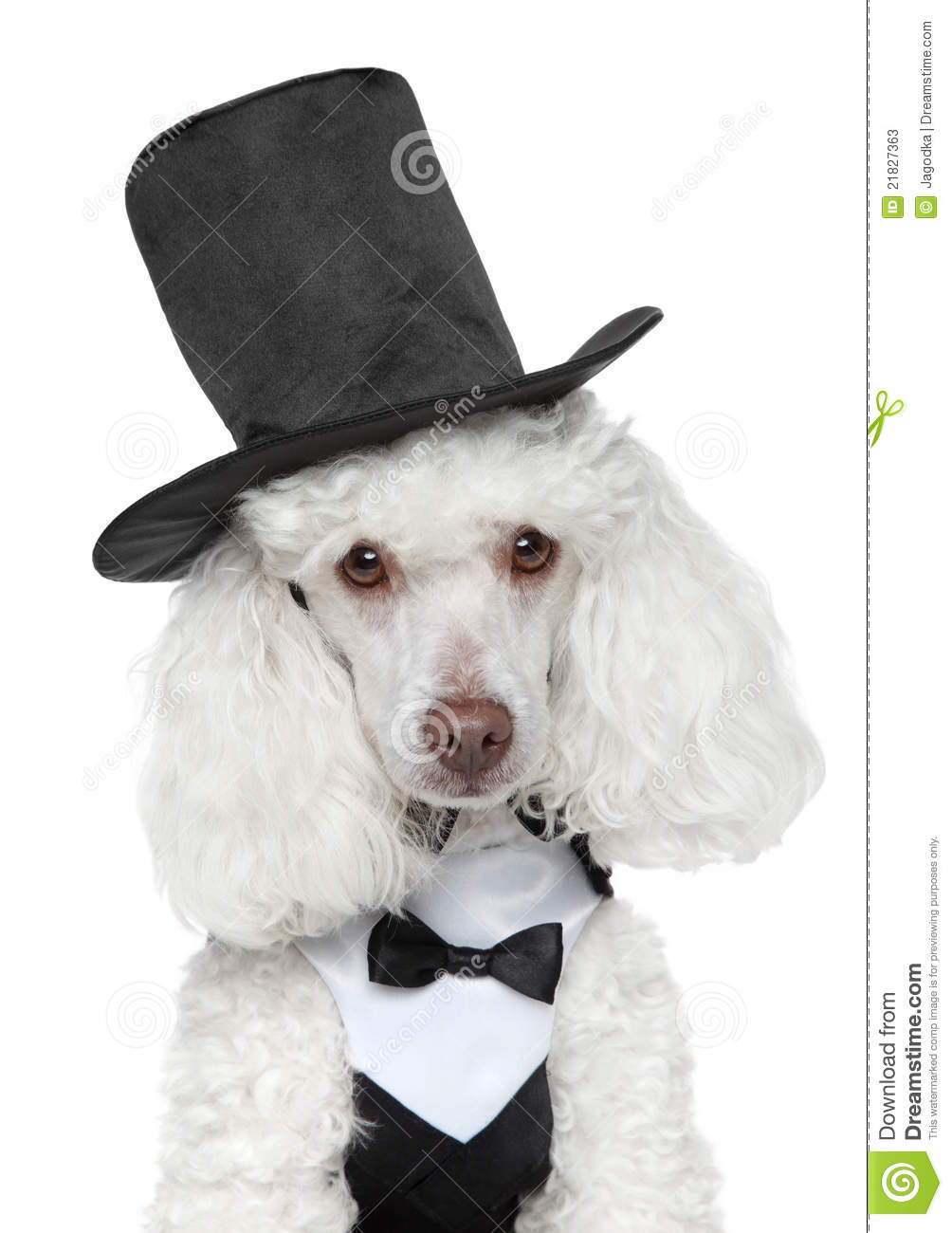 Toy Poodle In Black Waistcoat And Hat Stock Image - Image of