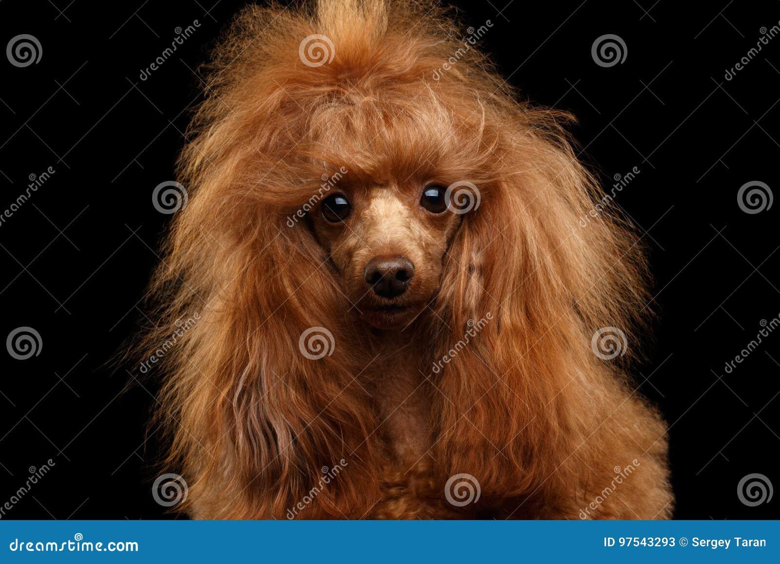 Toy Poodle Dog vermelho no fundo preto isolado