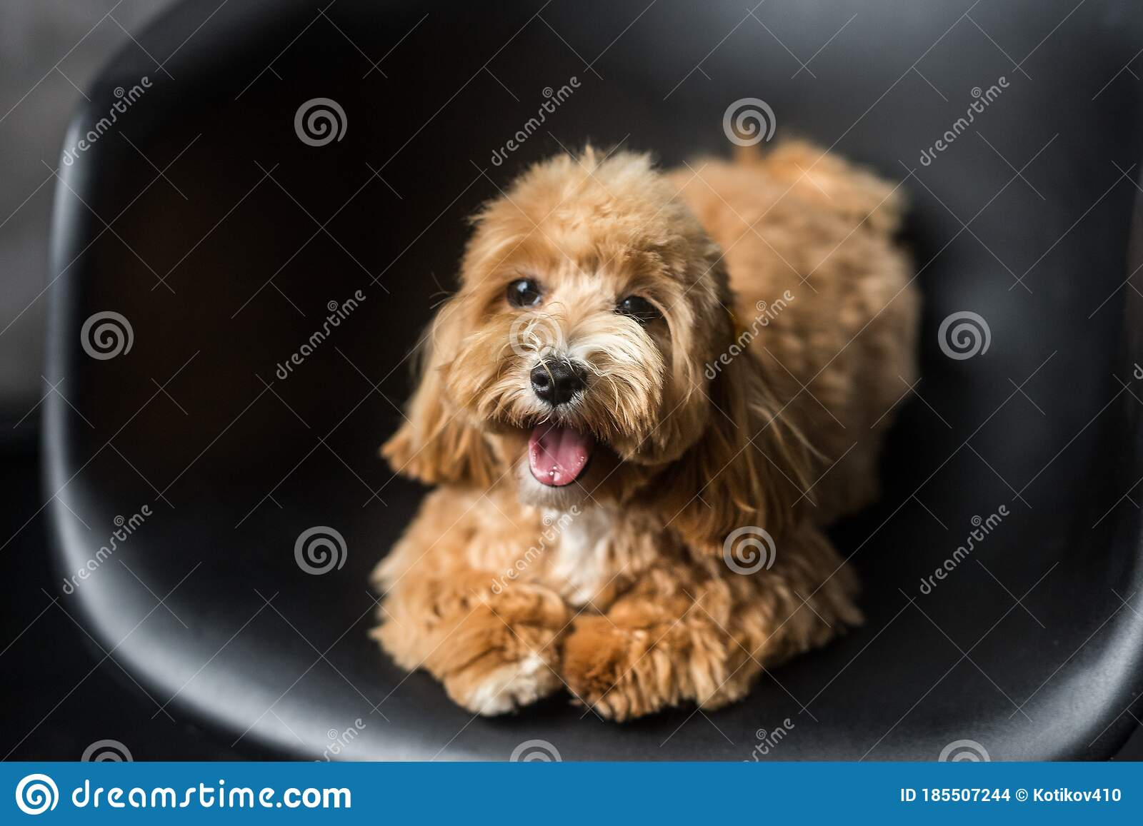 Toy Poodle Lying On Black Chair And Show Tongue In Camera Stock Photo Image Of Happiness Breed 185507244