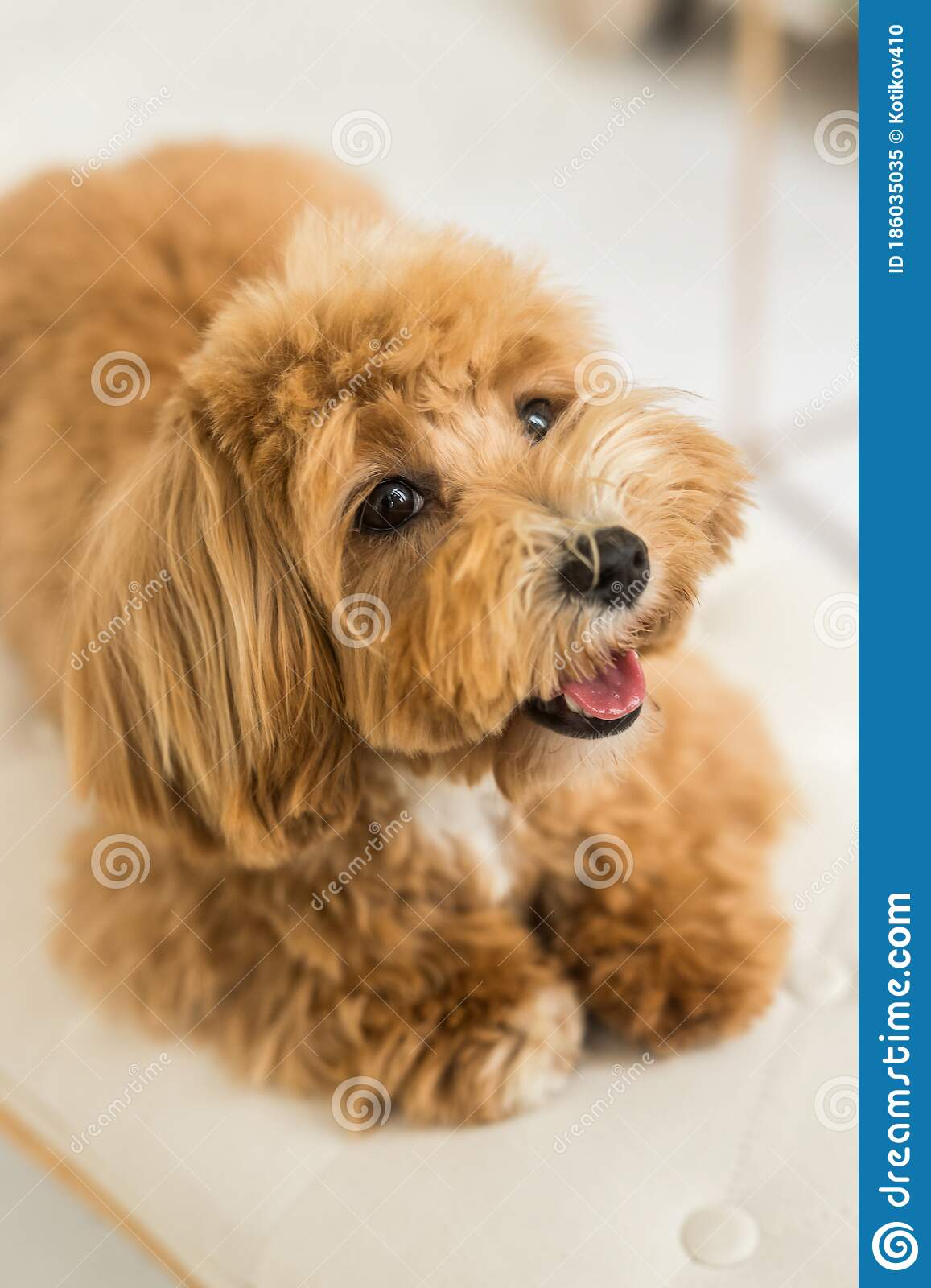 Toy Poodle Lying On White Armchair And Muzzle In Camera Stock Image Image Of Breed Funny 186035035