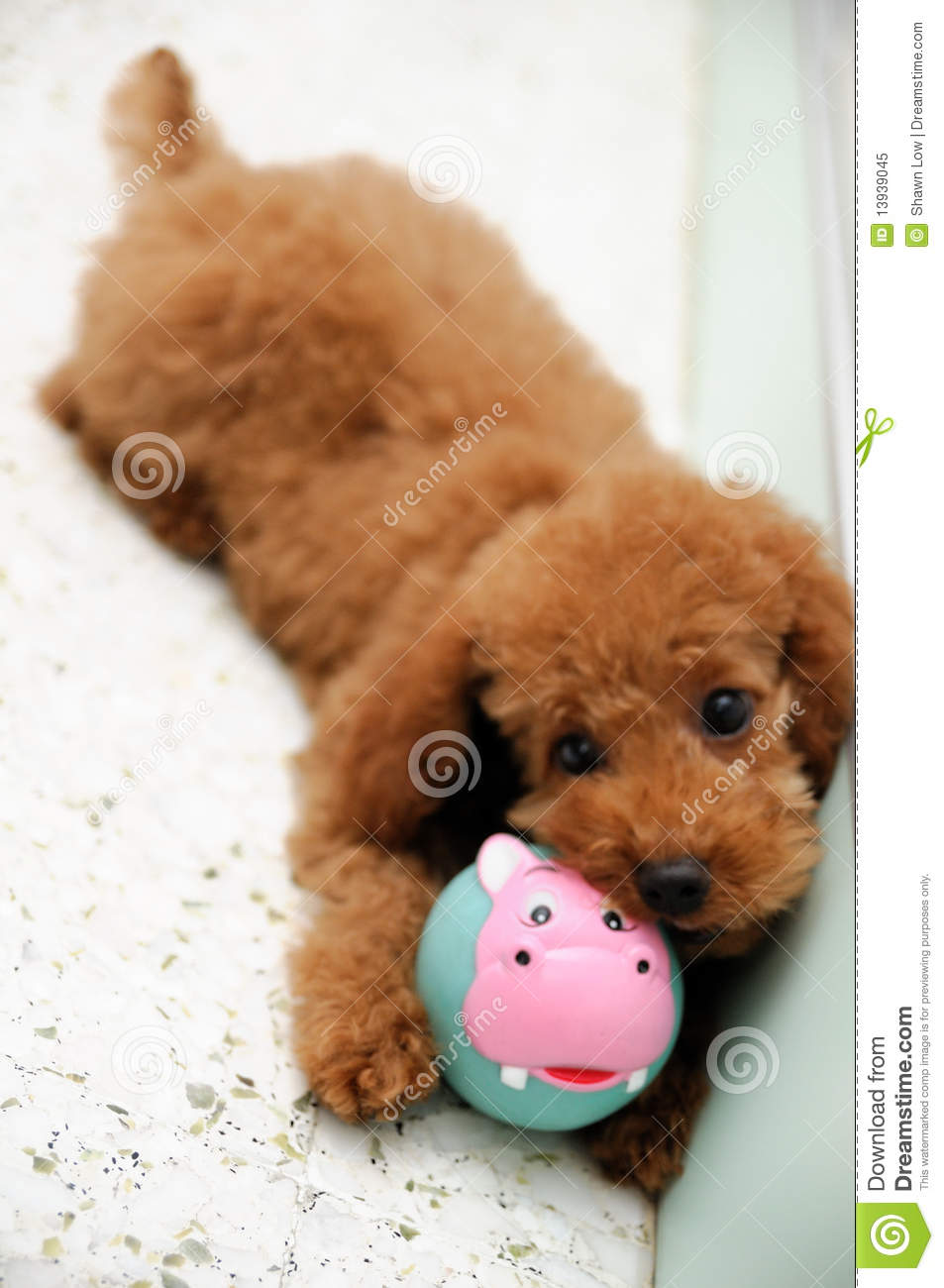 toy poodle at play 2 royalty free stock photo image