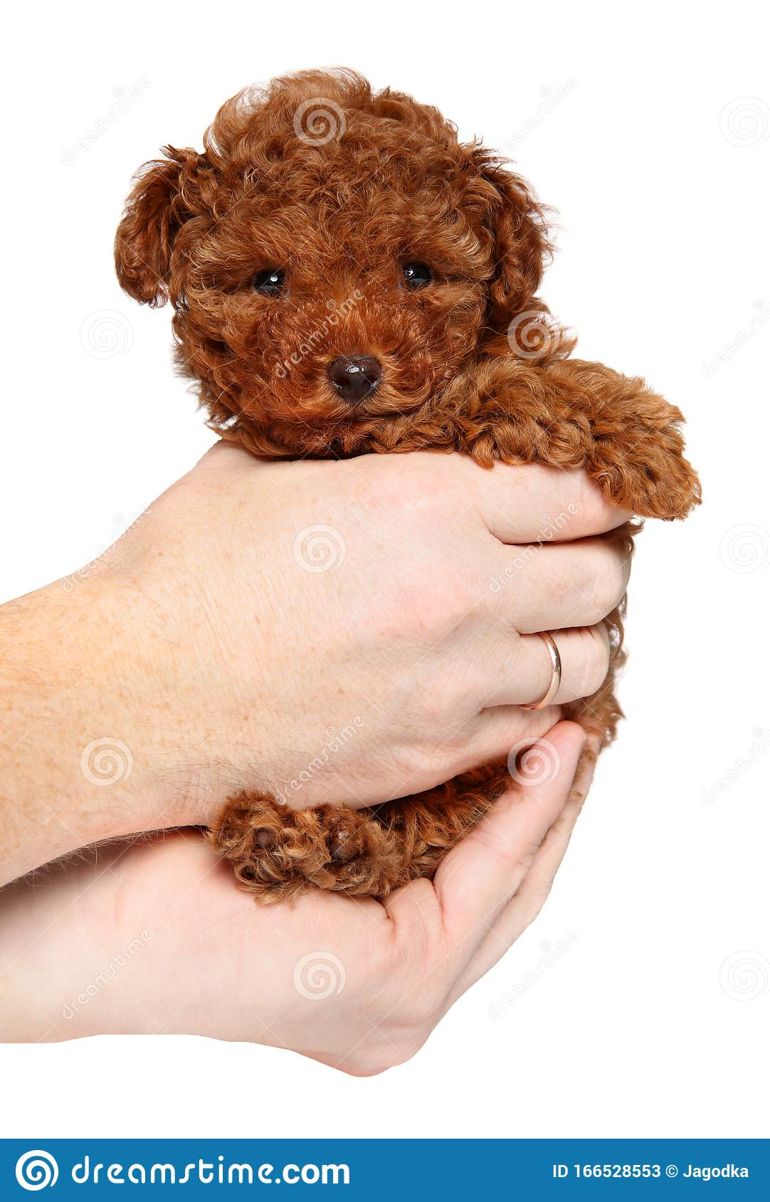 Toy Poodle Puppy In Hands Stock Image Image Of Brown 166528553
