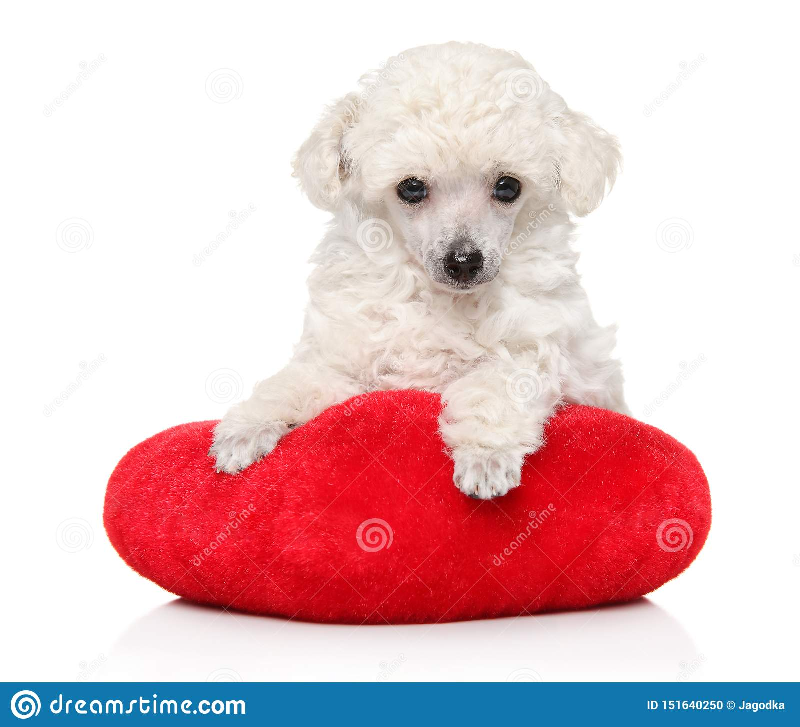 Toy Poodle Puppy Lying On Red Pillow Stock Photo Image Of Attractive Whelp 151640250