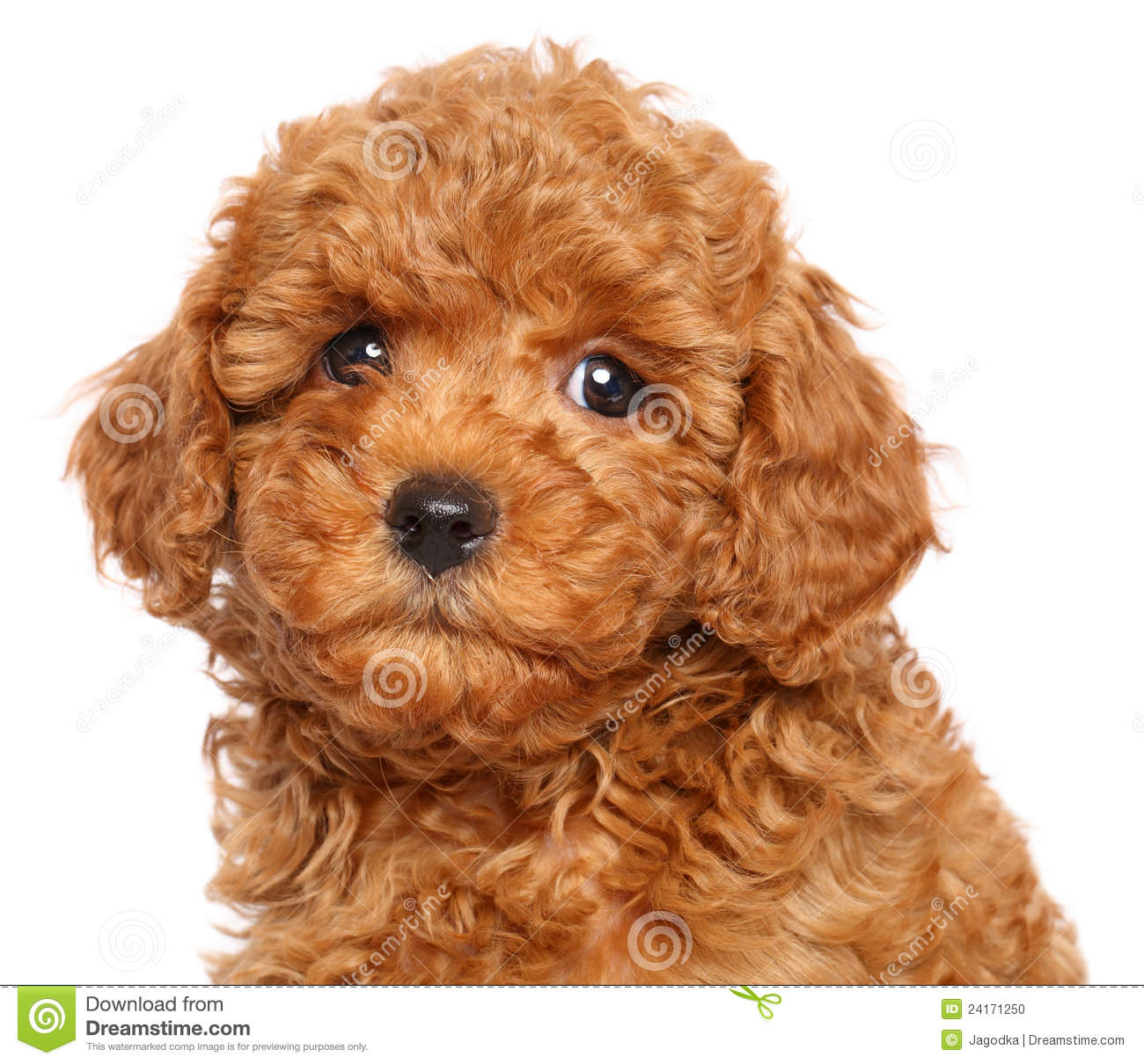 Red Toy Dogs : Toy poodle puppy on a white background stock photo image