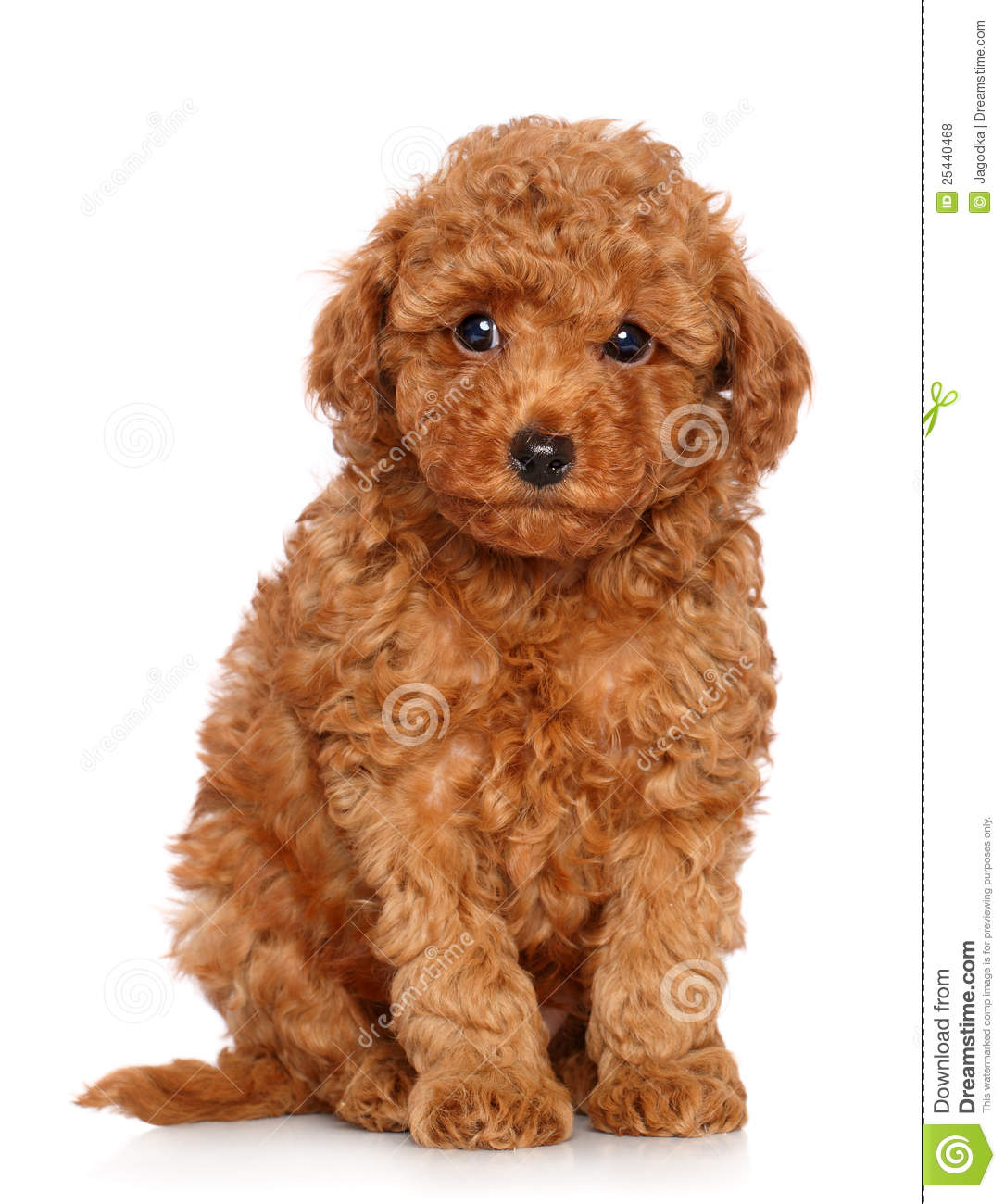 Teacup Chihuahua Puppy 010 furthermore Watch further Watch furthermore Differences Between Poodle Maltese 8278 further Akc Show Quality Ch ion Bloodline Red Male Toy Poodle Puppy 1448. on tiny toy poodle puppies