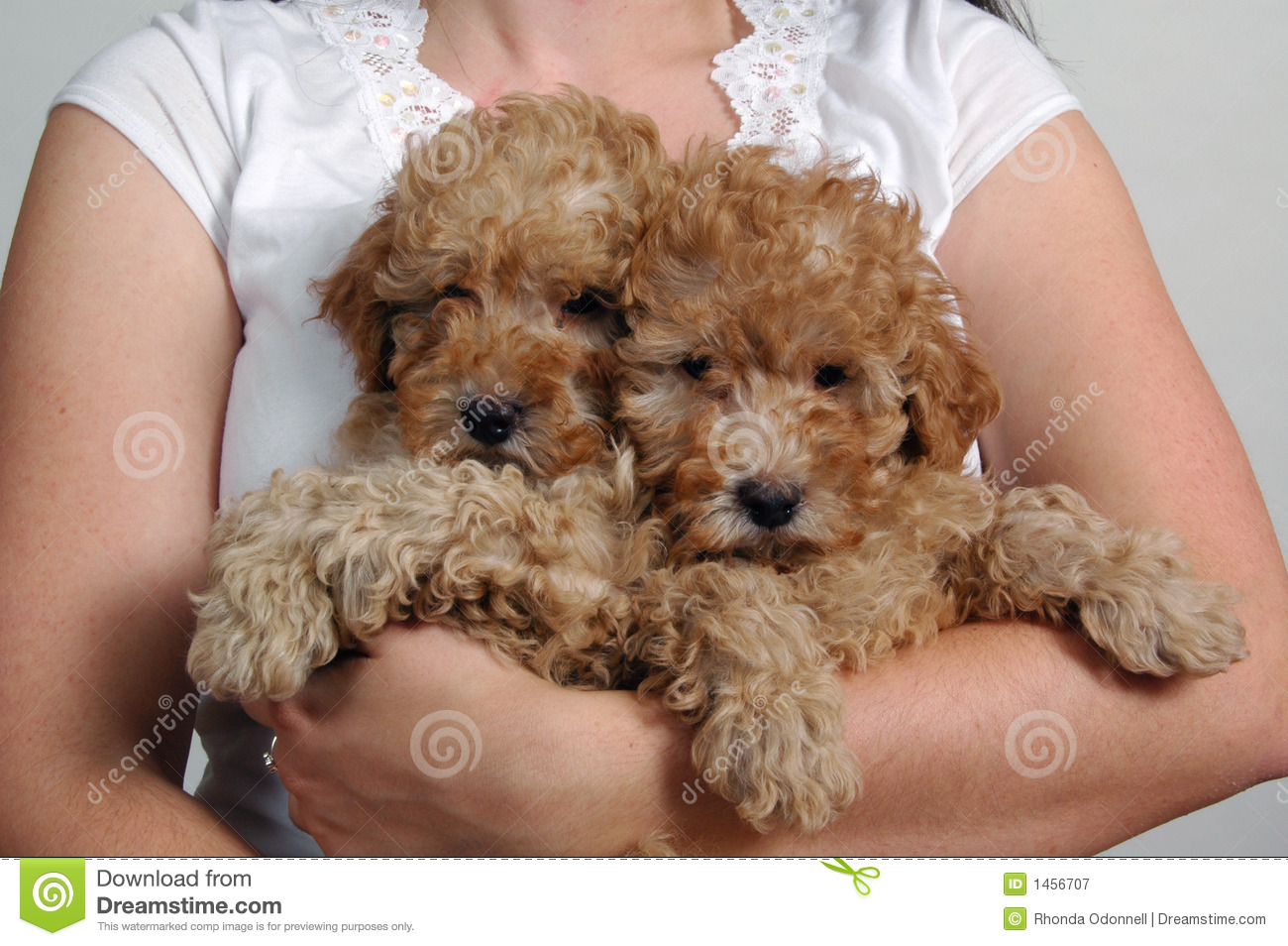 Toy Poodle Pups Stock Image Image Of Puppy Baby Canine