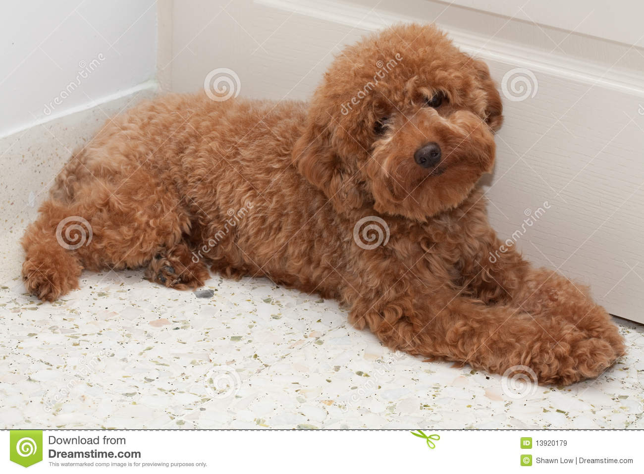 Toy Poodle With A Sad Expression 2 Royalty Free Stock Images - Image ...