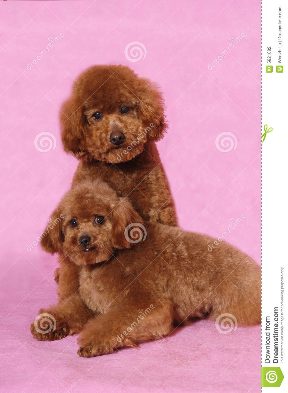 Toy Poodle teddy bear stock photo  Image of dogs, breed