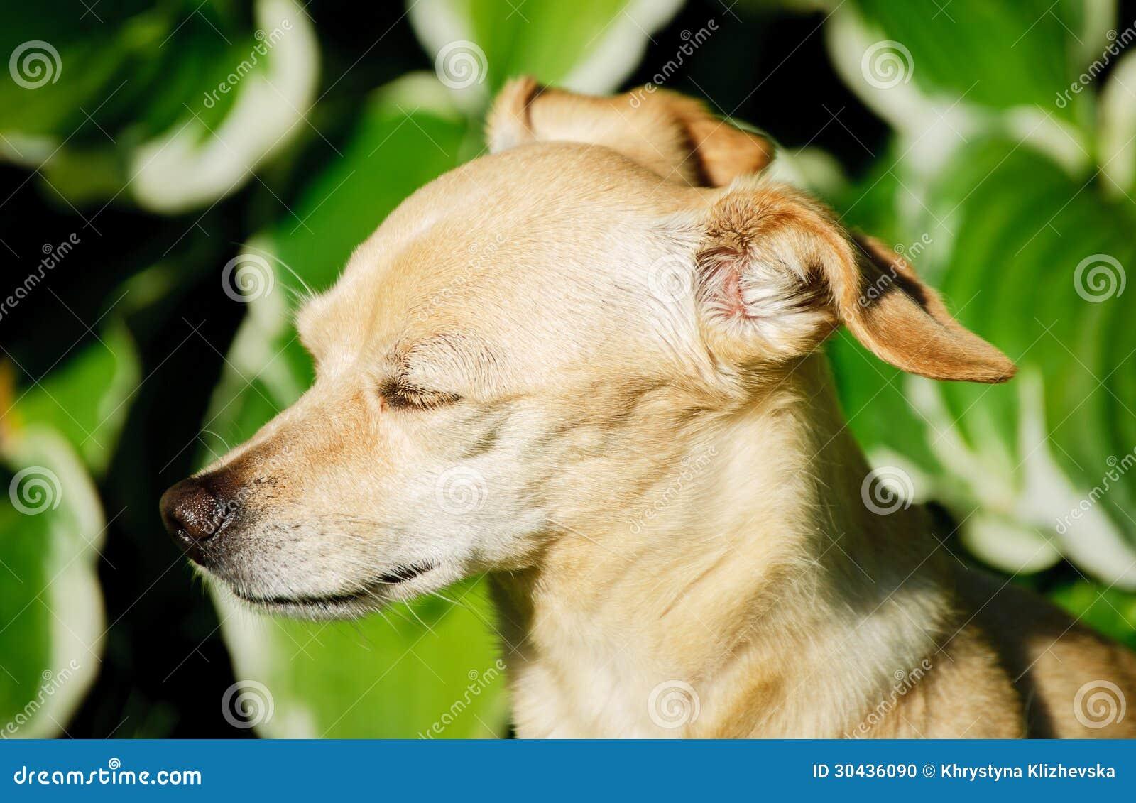 Toy terrier girl