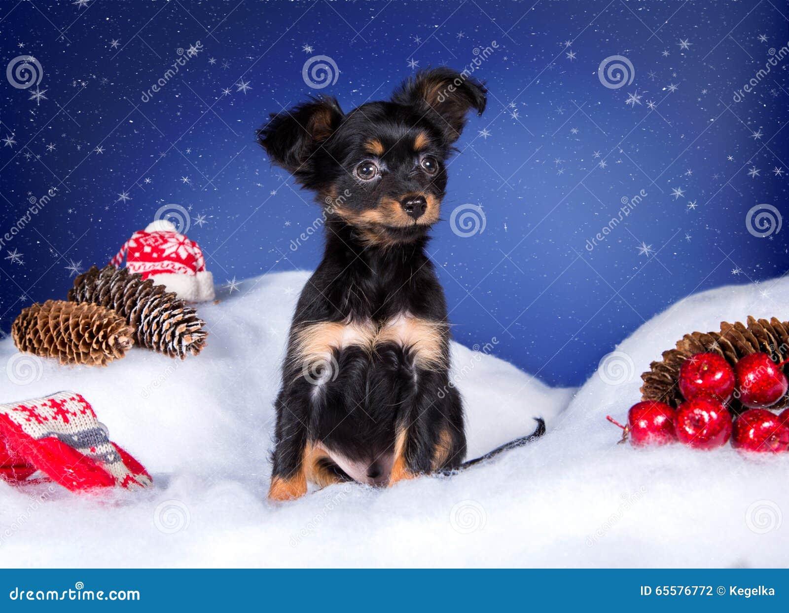 Toy Terrier na neve e no fundo azul