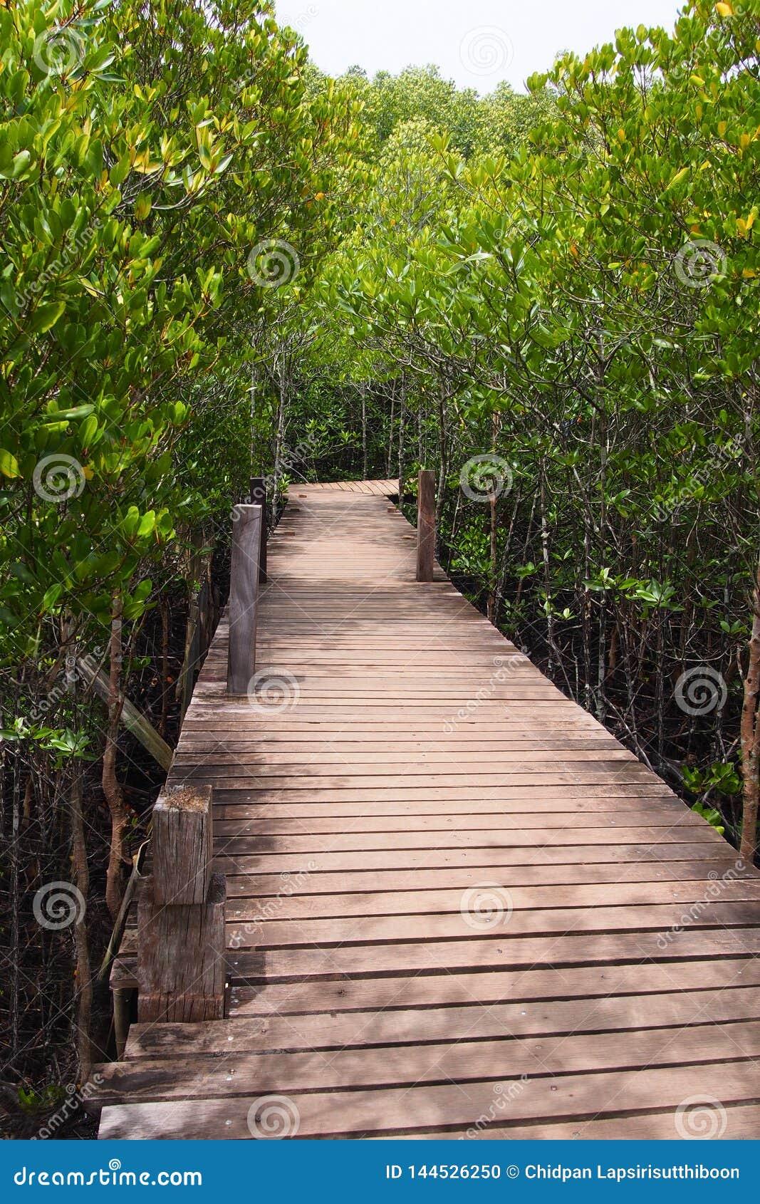 Träbro för en bana till och med den naturliga mangroveskogen, för den naturliga bakgrunden
