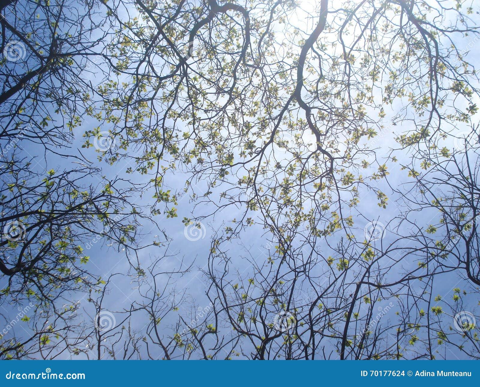 Trädöverkanten förgrena sig med nya sidor på vårhimmel