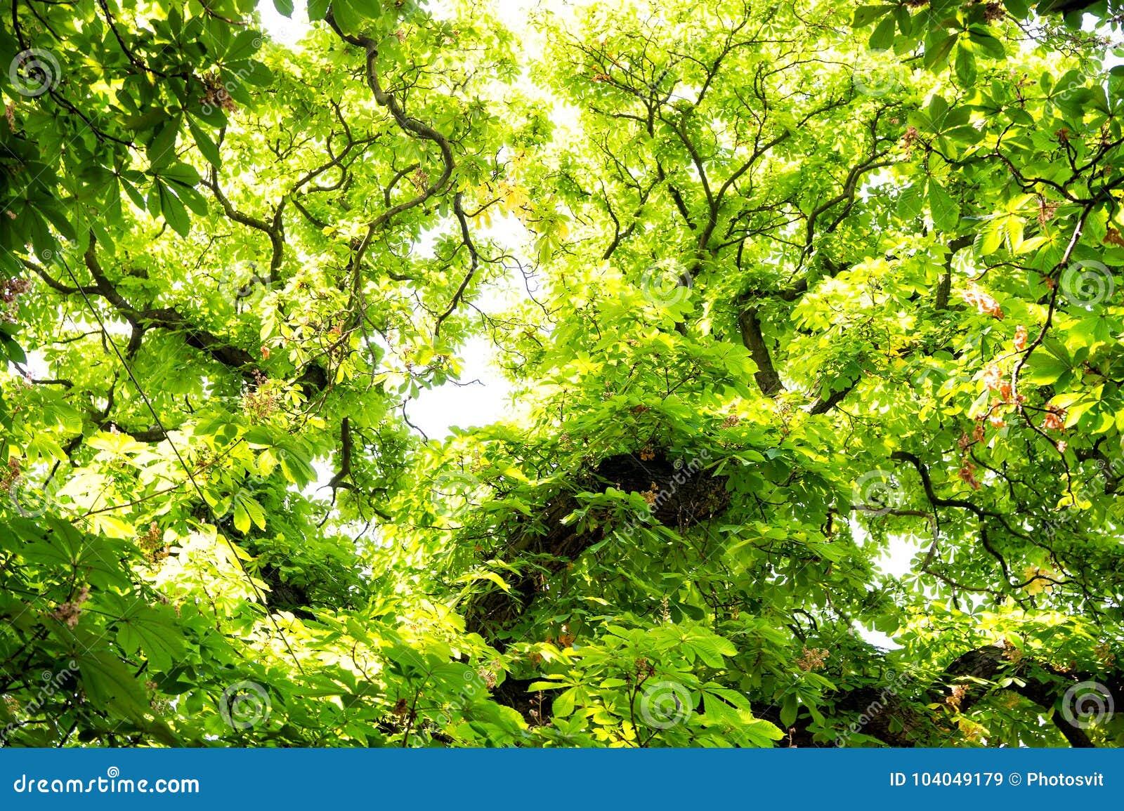 Träd av kastanjen med gräsplansidor i Prague, Tjeckien
