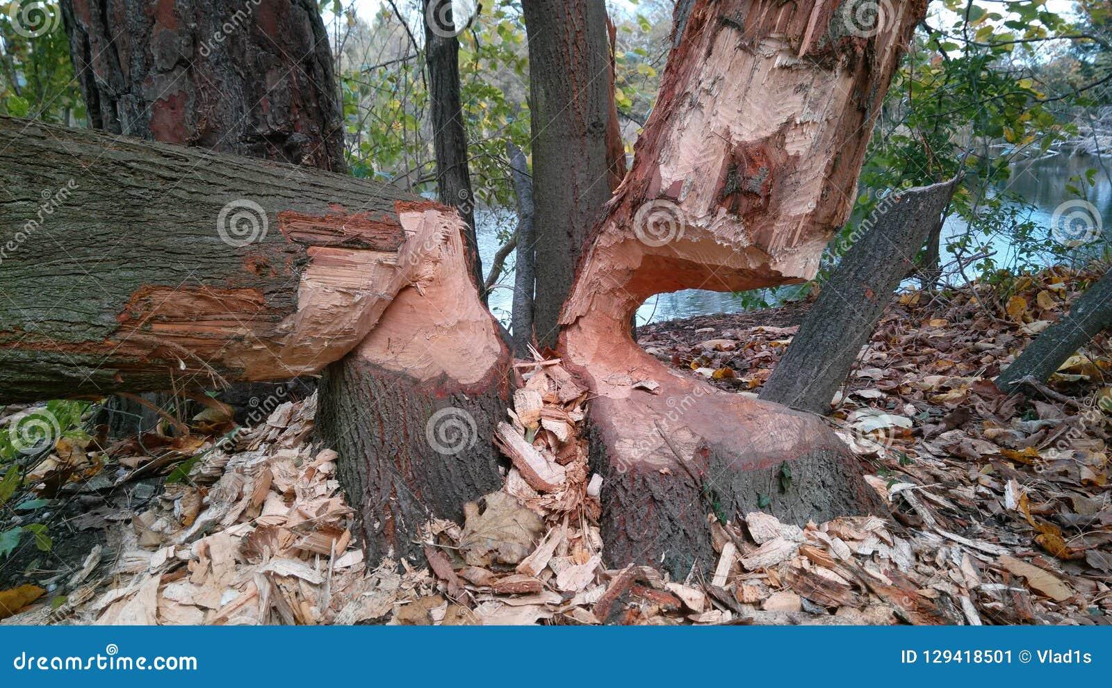 Träd biten vid bäver