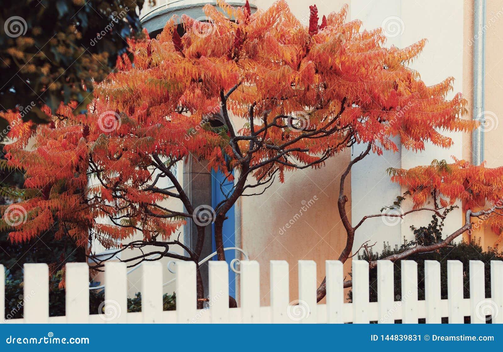 Träd för röd lönn framme av den blåa dörren