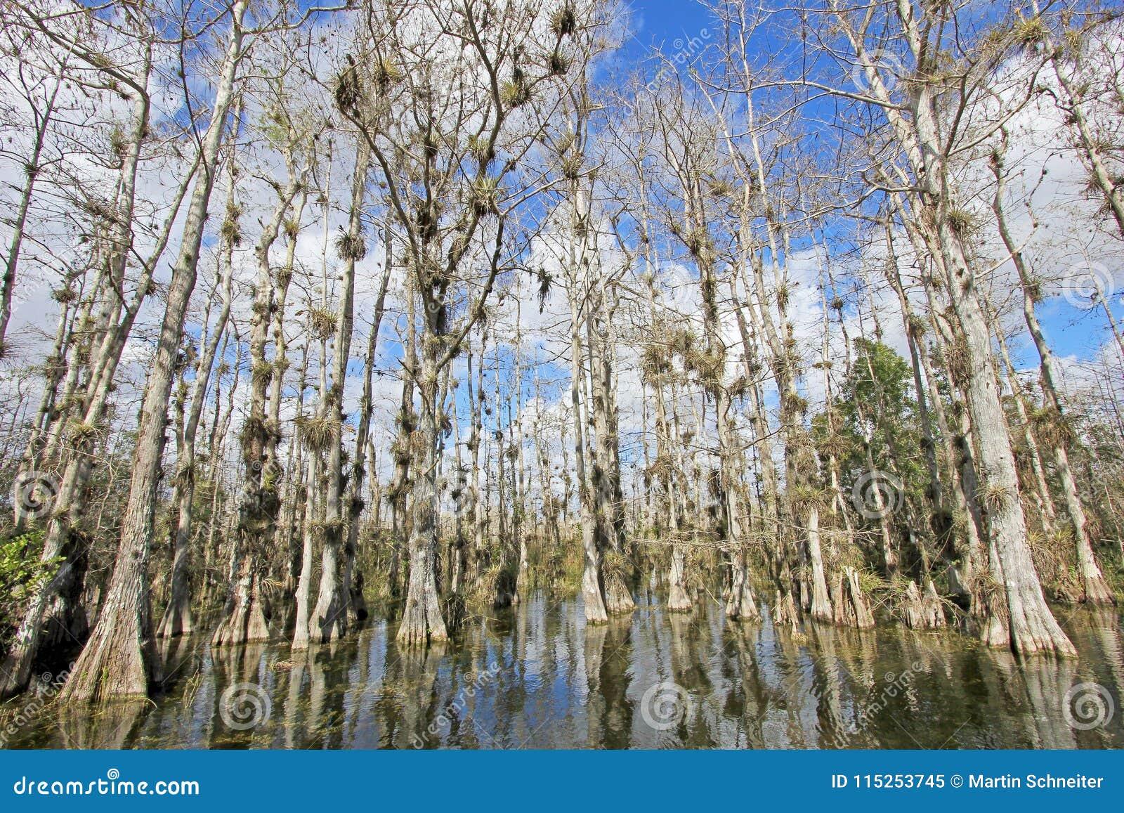 Träd för skallig cypress, Taxodiumdistichum, träsk, Everglades nationalpark, Florida, USA