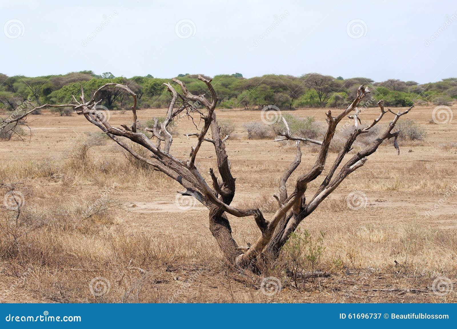 Träd i savann
