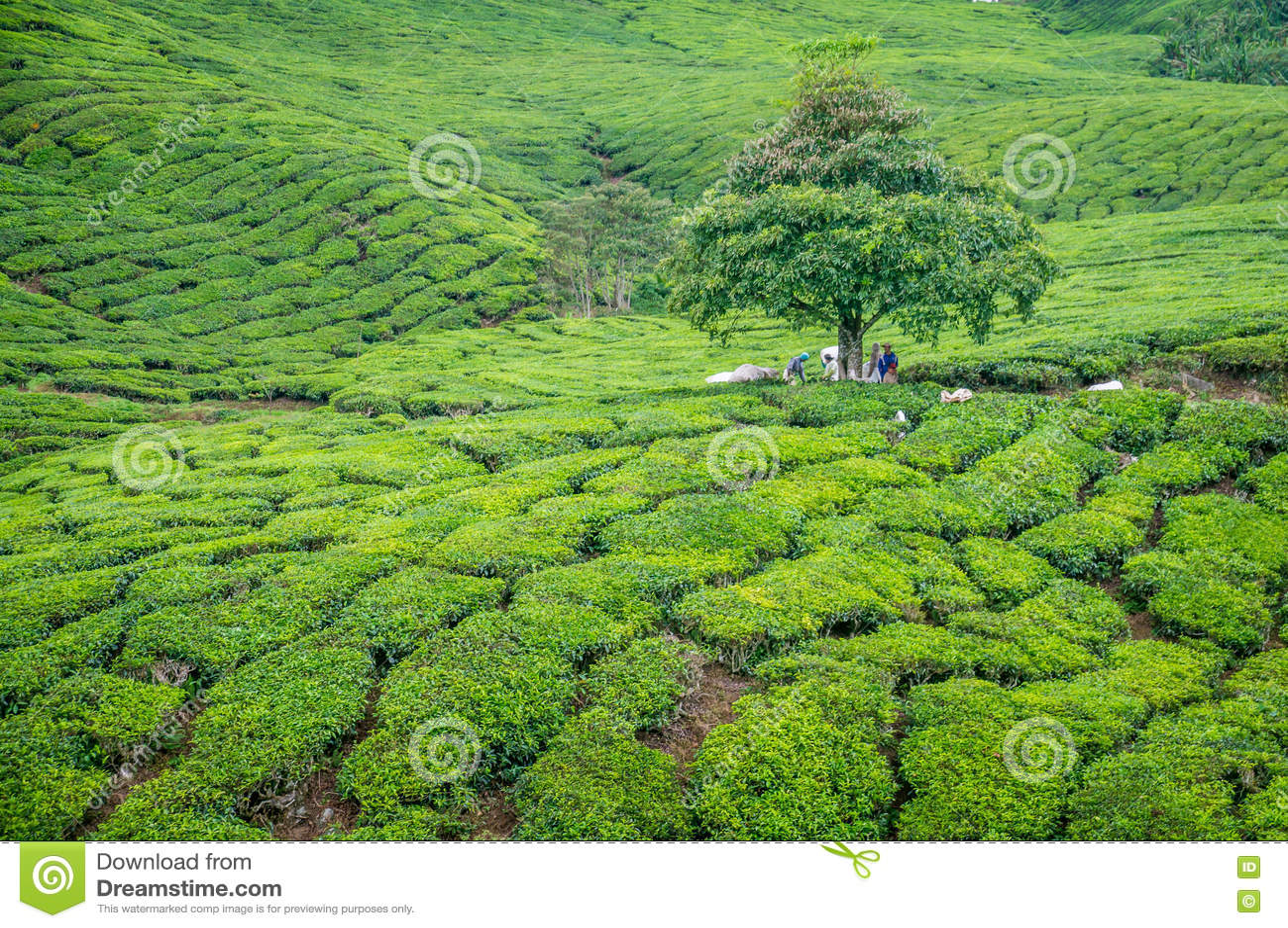 Träd i tekoloni i Cameron Highlands