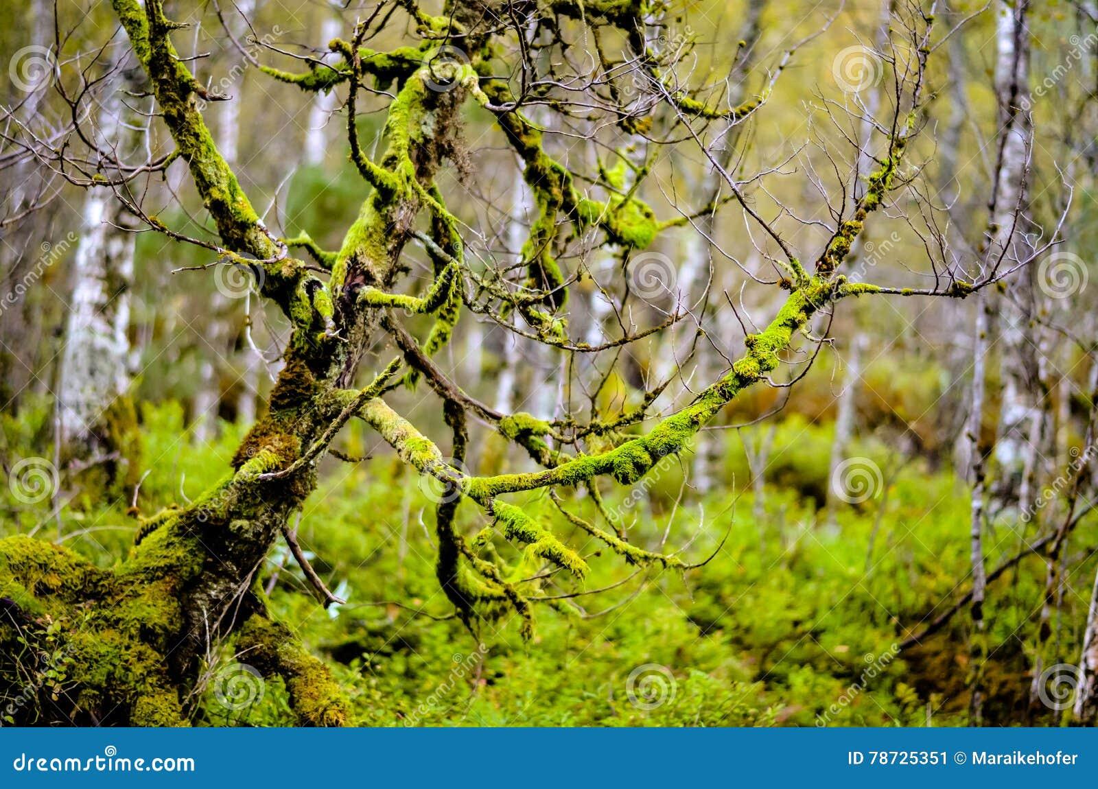 Träd som är fullvuxet med mossa i skog