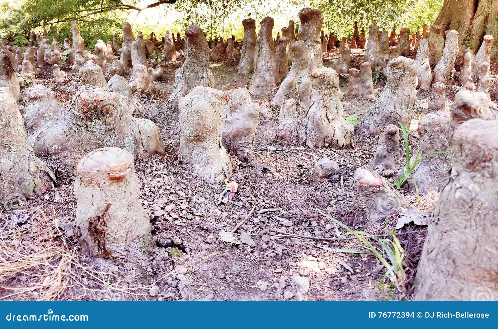 Trädet rotar att likna det skogsbevuxna Meerkat säterit