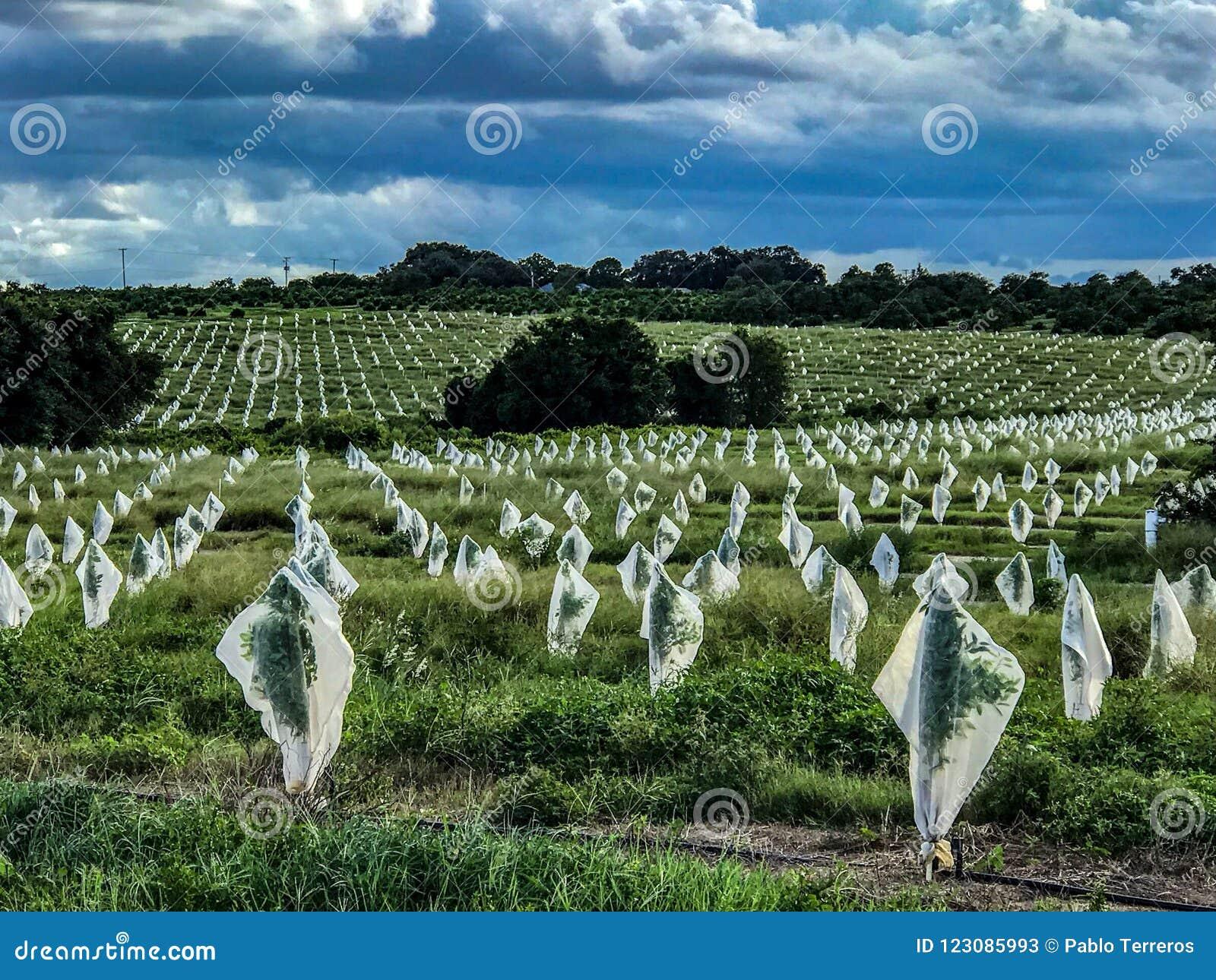 Trädförsvarare som appliceras till Florida den citrusa dungen