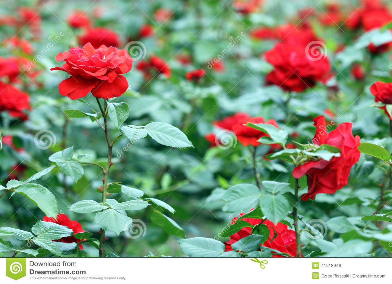 Tr dg rd f r r da rosor - Arreglo de jardines ...