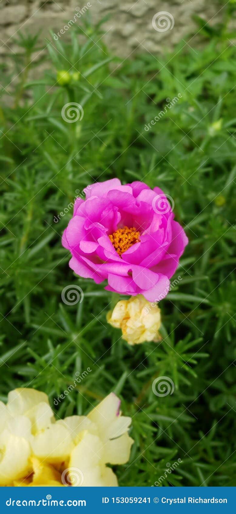 Trädgård med den rosa suckulenten
