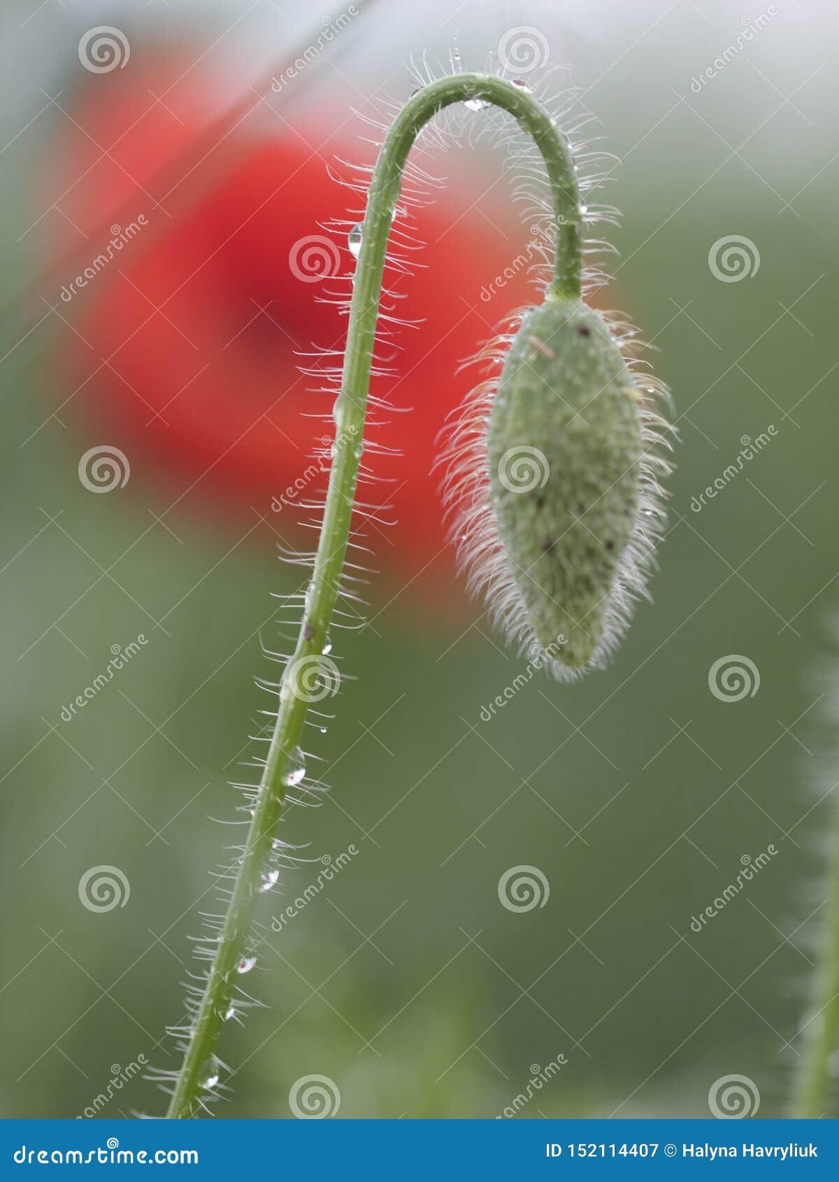 Trädgård vallmo, gräsplan, bakgrund, natur, vår, växt som är ny, closeup som är naturlig, säsong, knopp som är blom-, dagg, flora